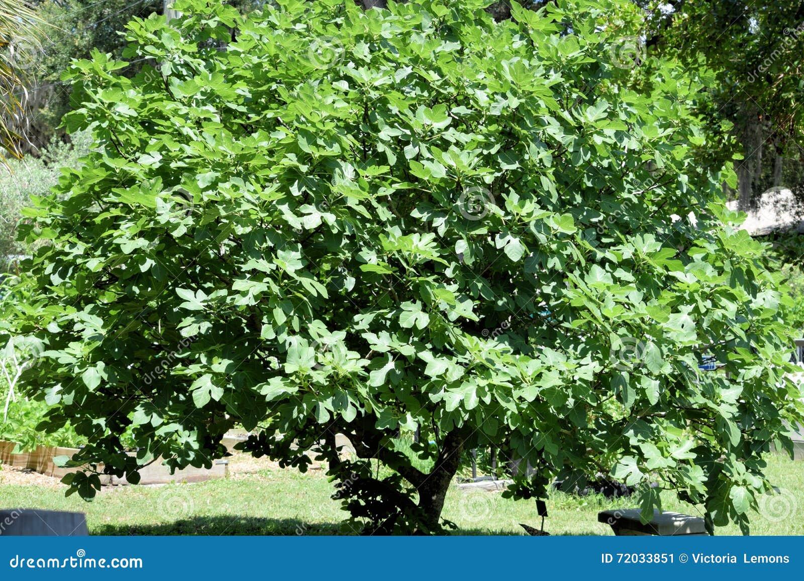 Δέντρο ή Καρική Συκιά σύκων Στοκ Εικόνα - εικόνα από καρπός ...