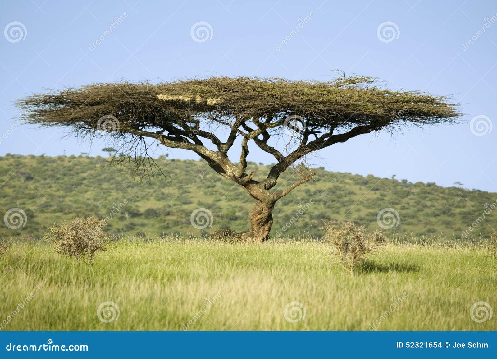 Δέντρο ακακιών στην πράσινη χλόη της συντήρησης άγριας φύσης Lewa, βόρεια Κένυα, Αφρική