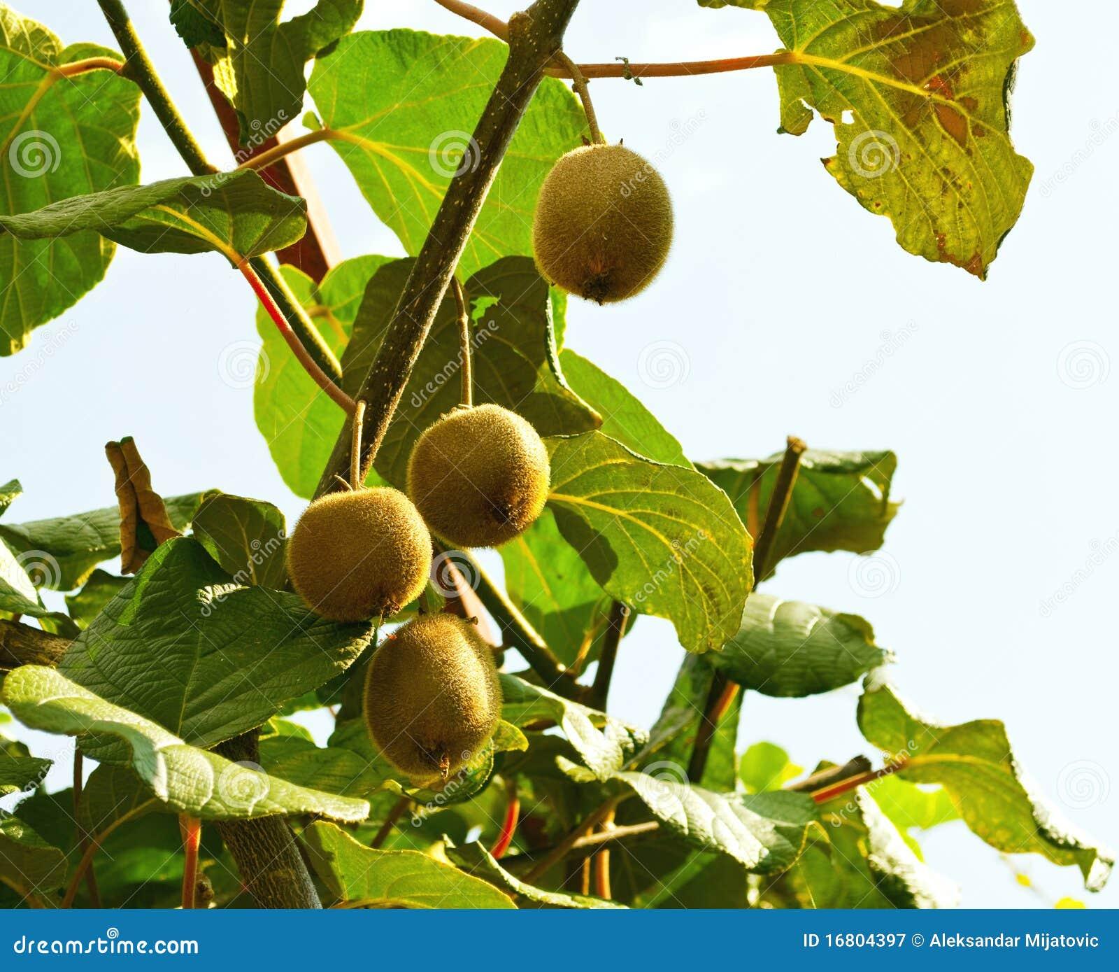 δέντρο ακτινίδιων καρπού