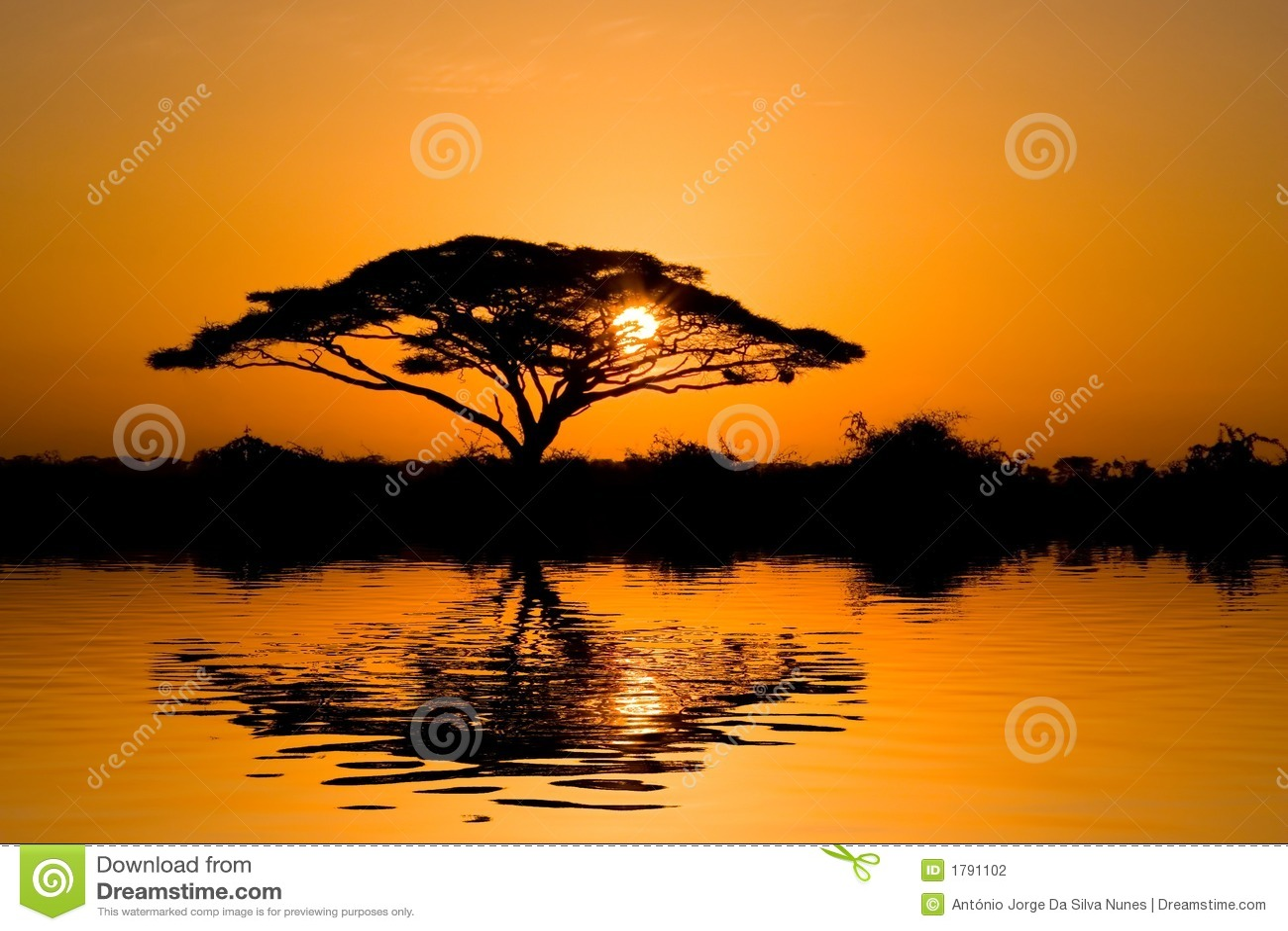 δέντρο ανατολής ακακιών