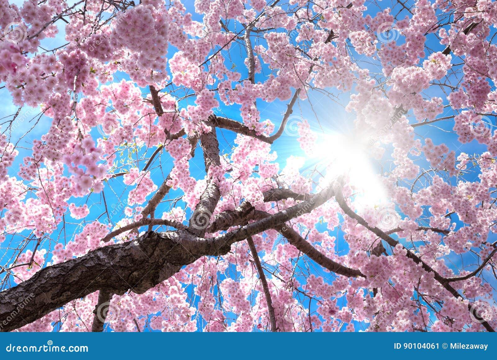 Δέντρο ανθών κερασιών