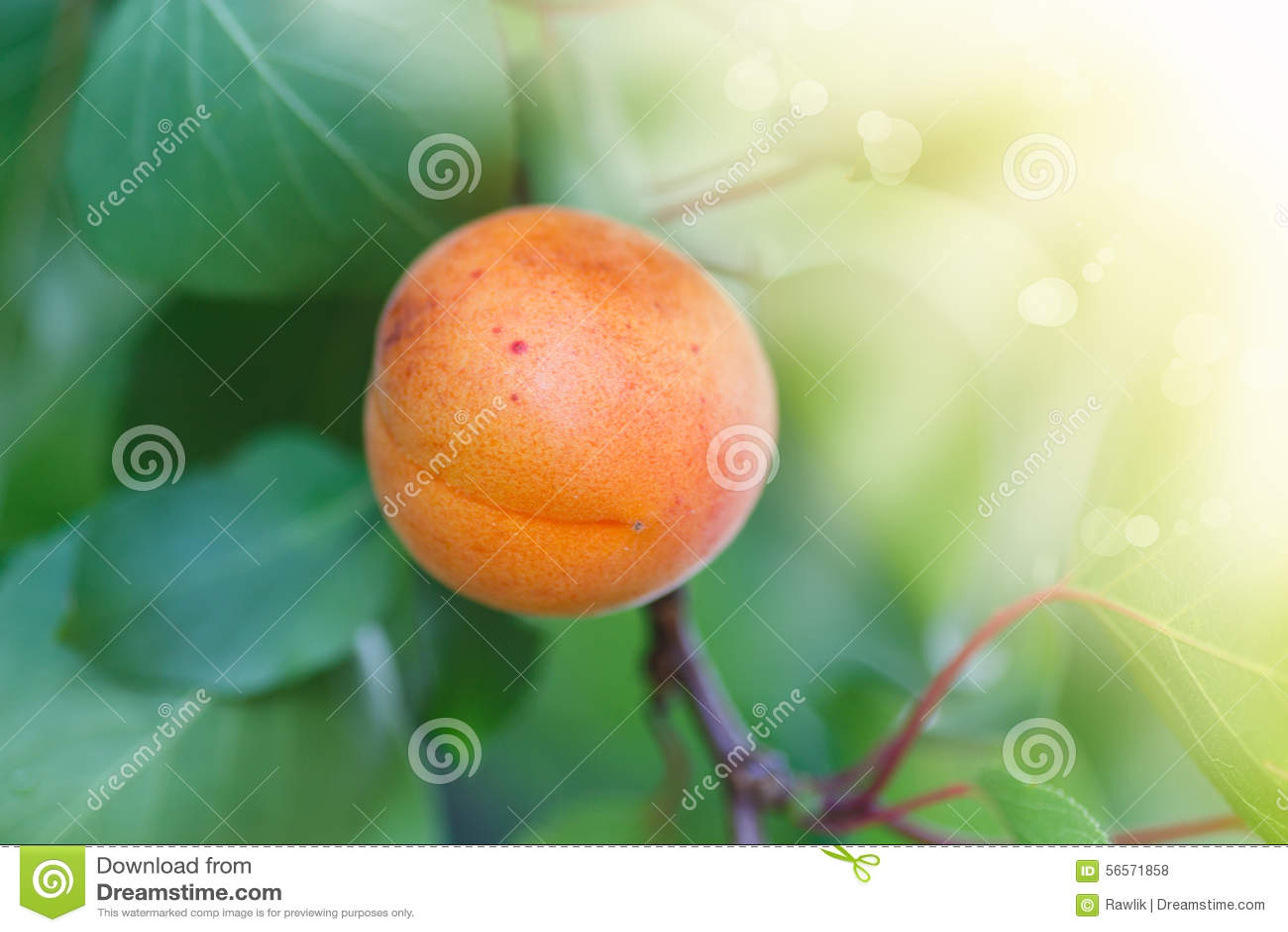 Download Δέντρο βερικοκιών με την ανάπτυξη φρούτων Στοκ Εικόνες - εικόνα από ανάπτυξη, growing: 56571858