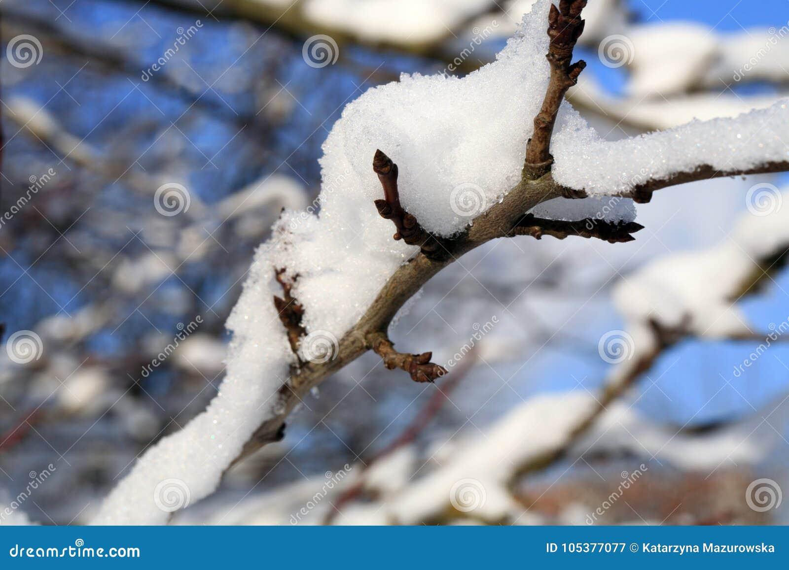 Δέντρο δαμάσκηνων κλάδων κάτω από το χιόνι με το φως του ήλιου