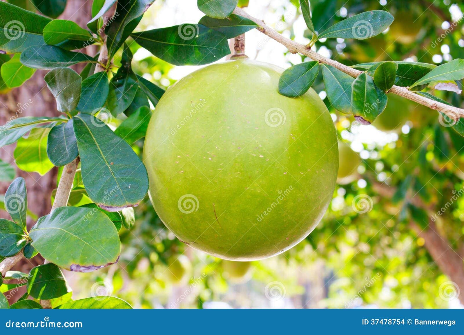 Δέντρο και φρούτα Calabash