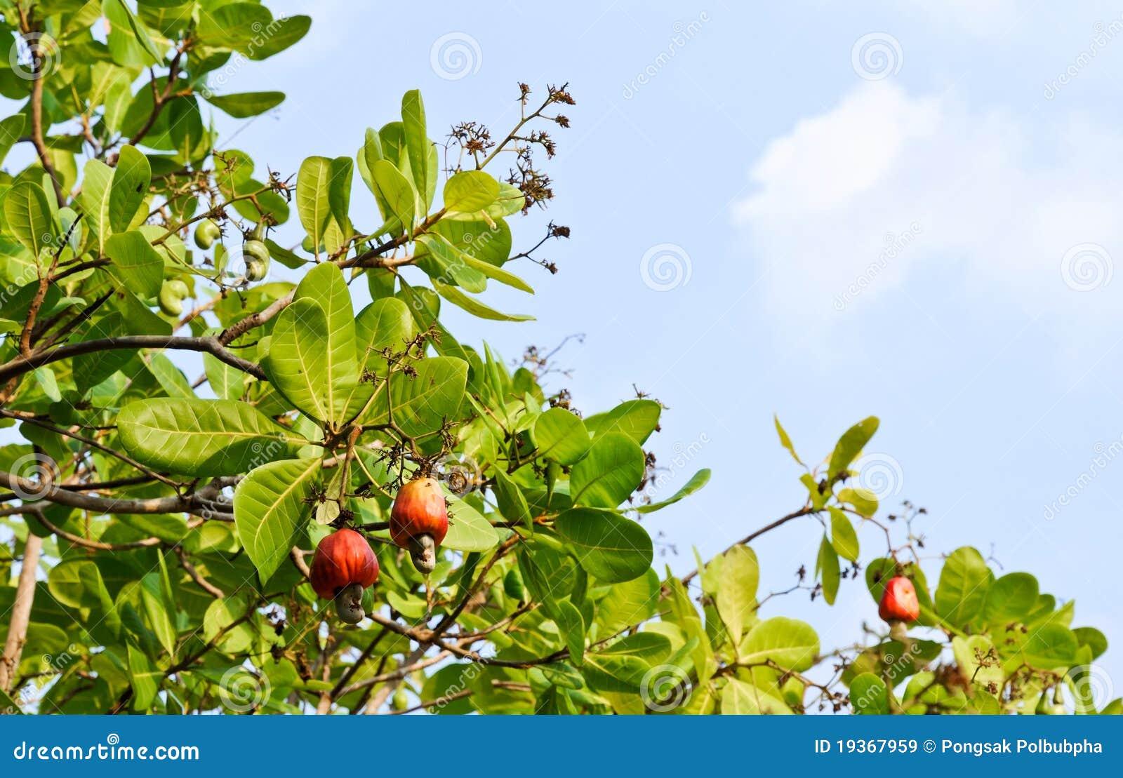 δέντρο καρυδιών των δυτικ