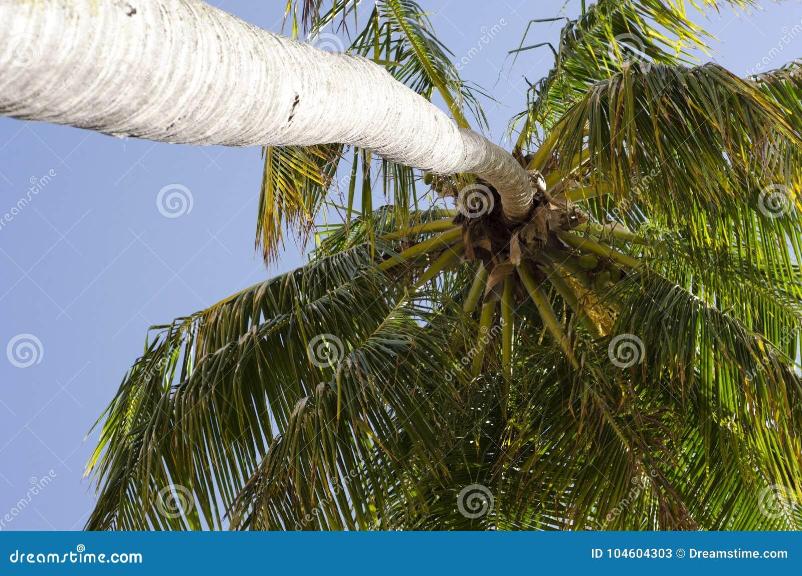 Δέντρο καρύδων στην τροπική παραλία