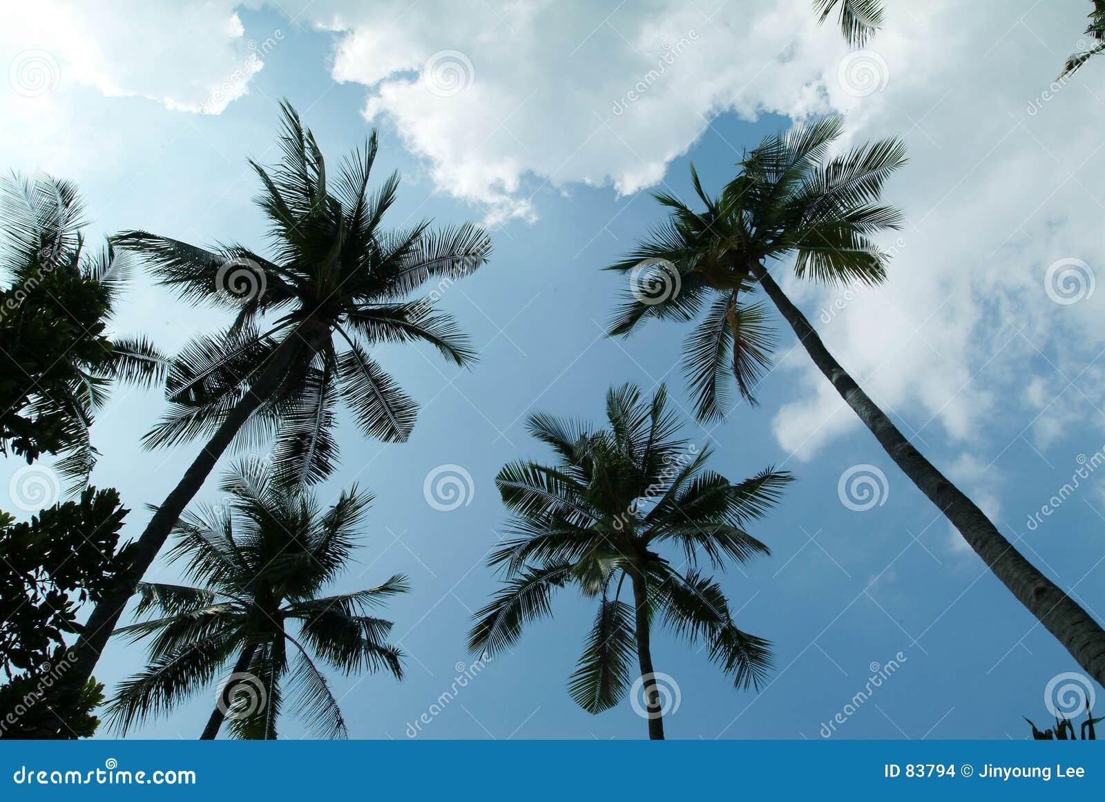 δέντρο καρύδων