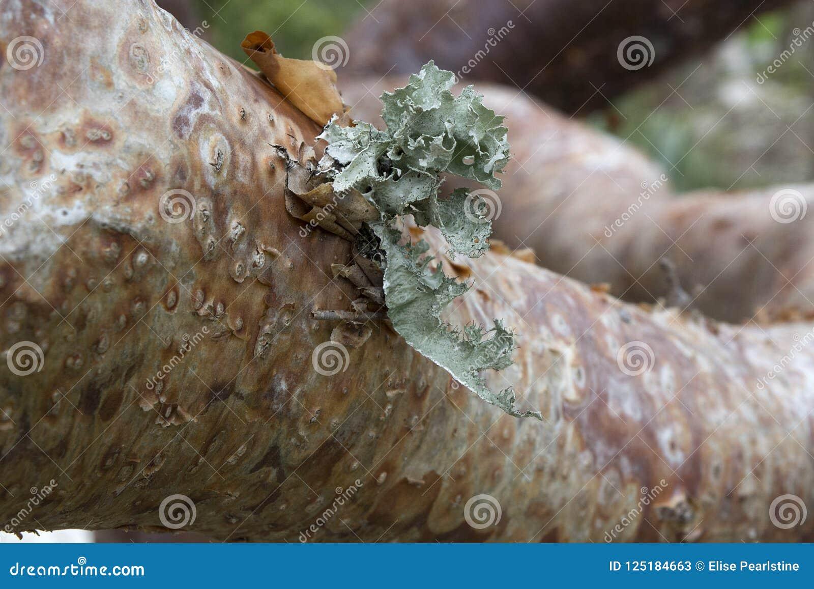 Δέντρο κενών Gumbo στην τροπική Φλώριδα με τις λεπτομέρειες φλοιών και λειχήνων