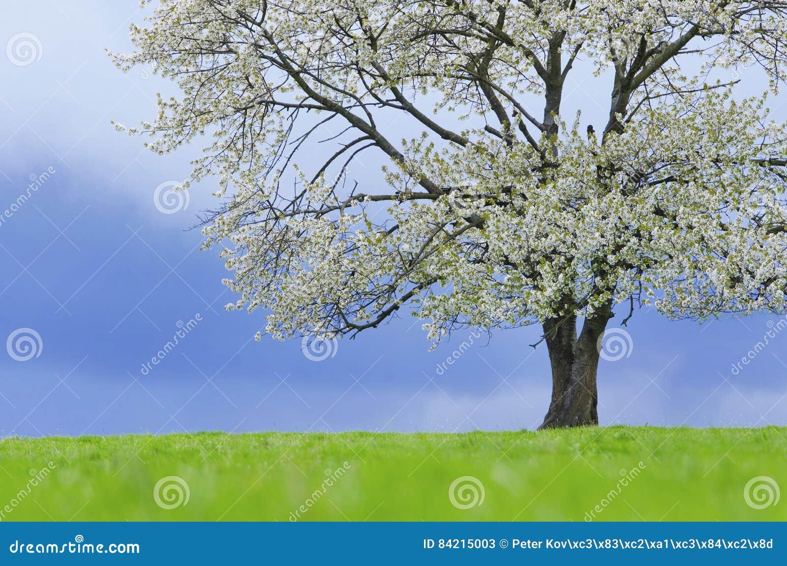 Δέντρο κερασιών άνοιξη στο άνθος στο πράσινο λιβάδι κάτω από το μπλε ουρανό Ταπετσαρία στα μαλακά, ουδέτερα χρώματα με το διάστημ