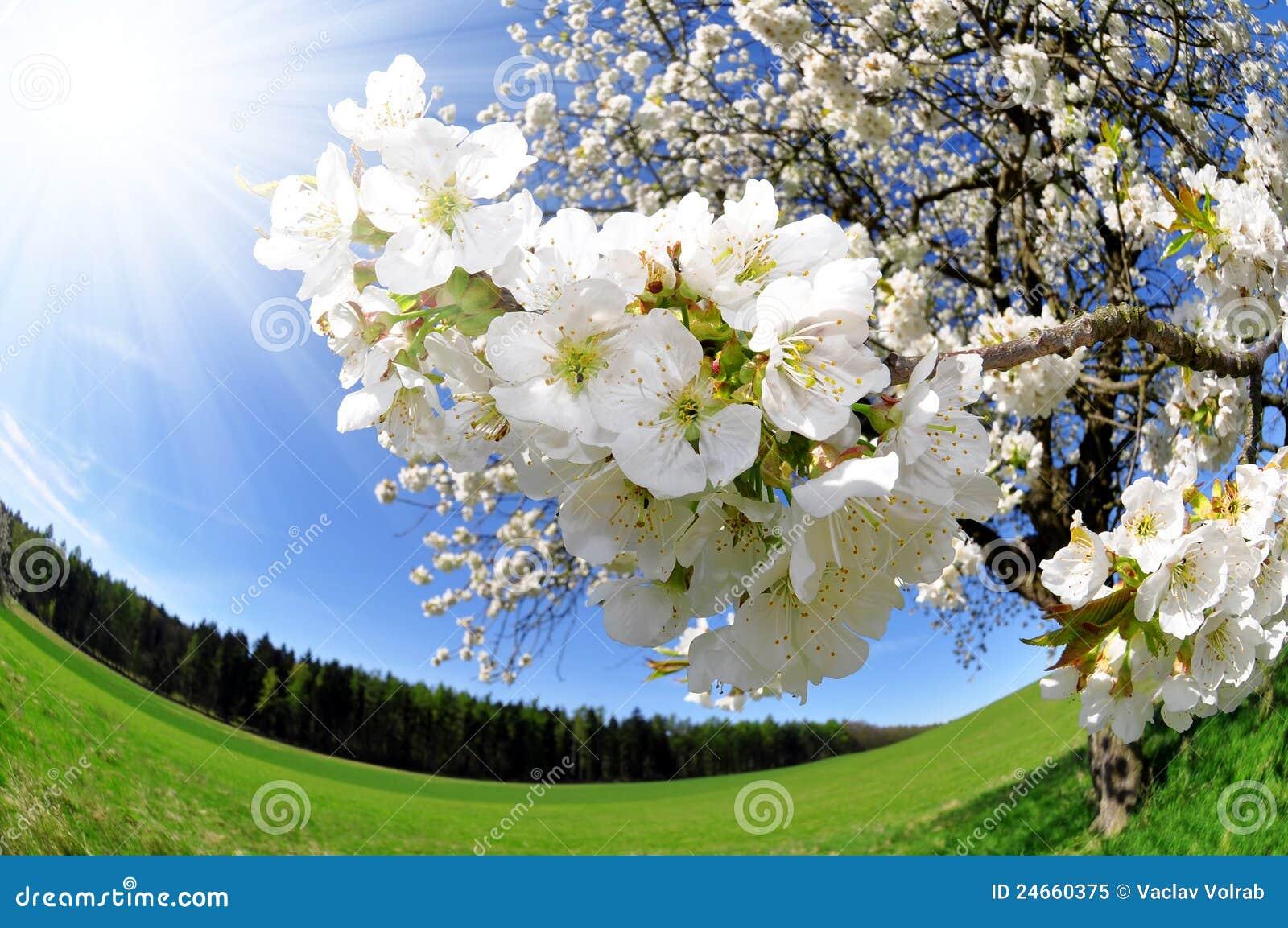 δέντρο λουλουδιών κερασιών