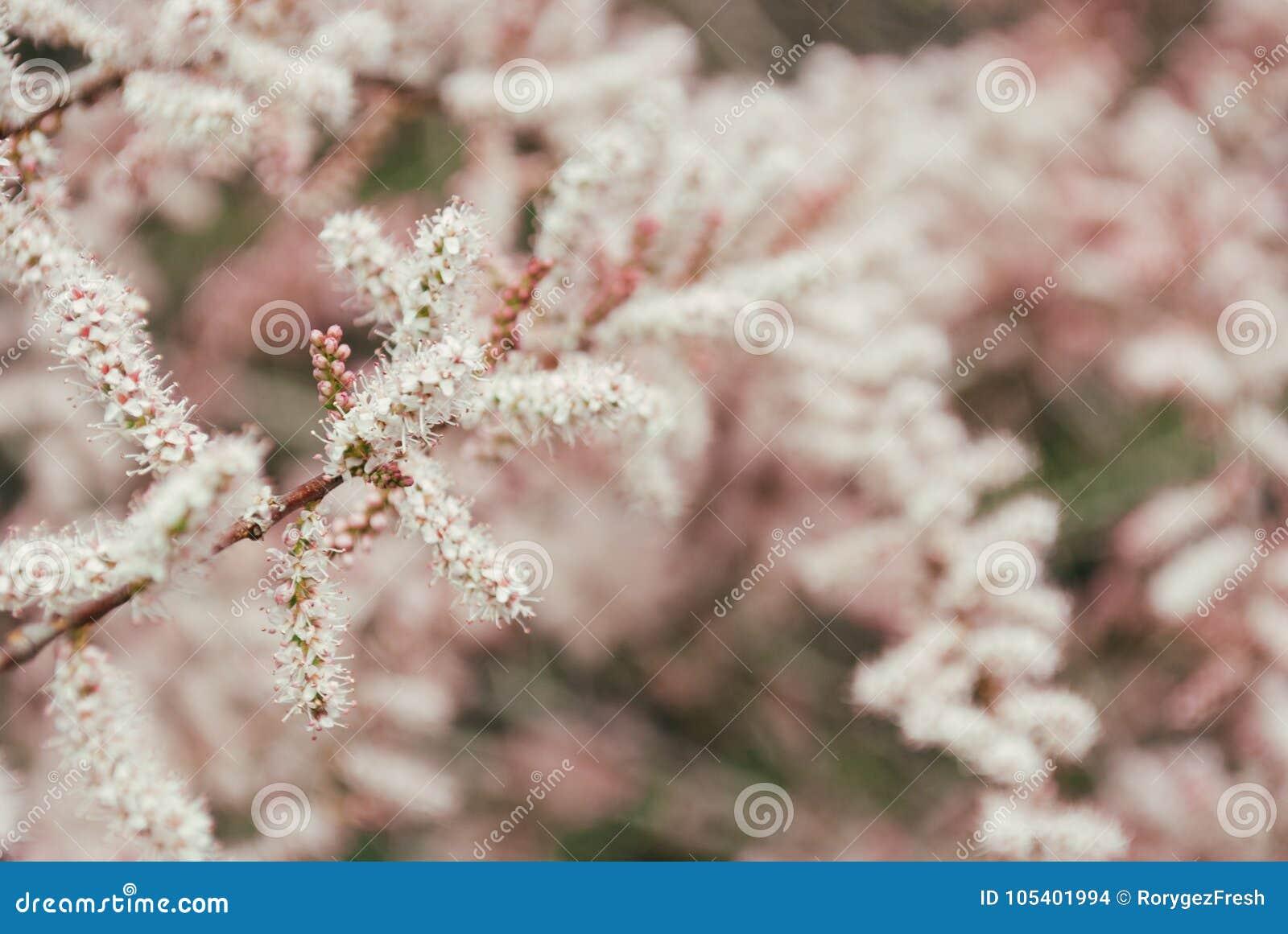 Download Δέντρο με τα λουλούδια του Tamarisk Στοκ Εικόνες - εικόνα από bloodsuckers, floral: 105401994