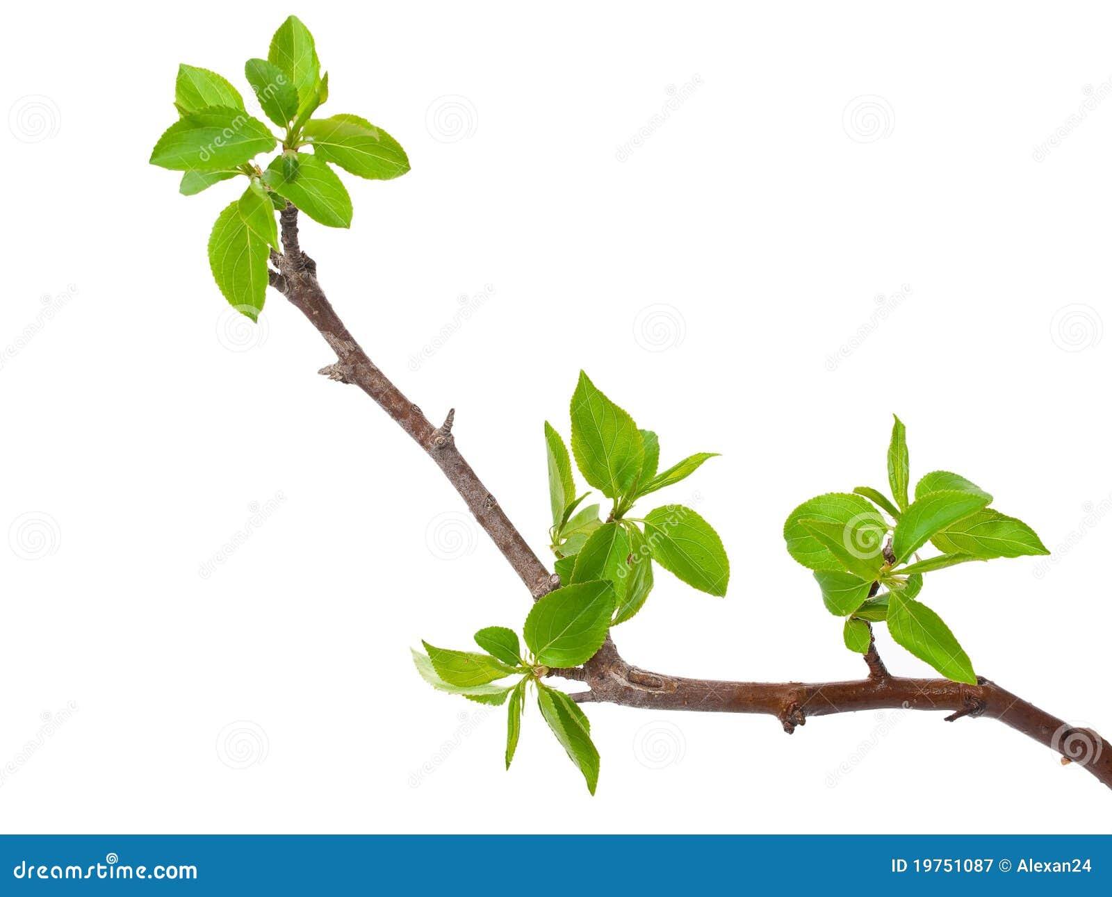 Δέντρο μηλιάς κλάδων