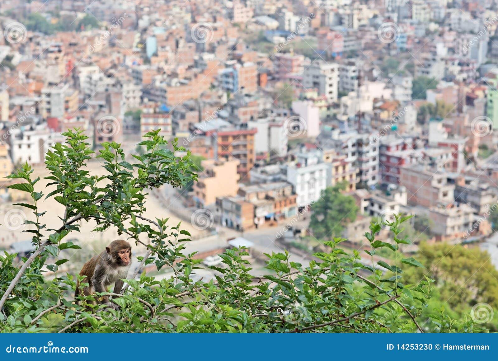 δέντρο μουριών πιθήκων