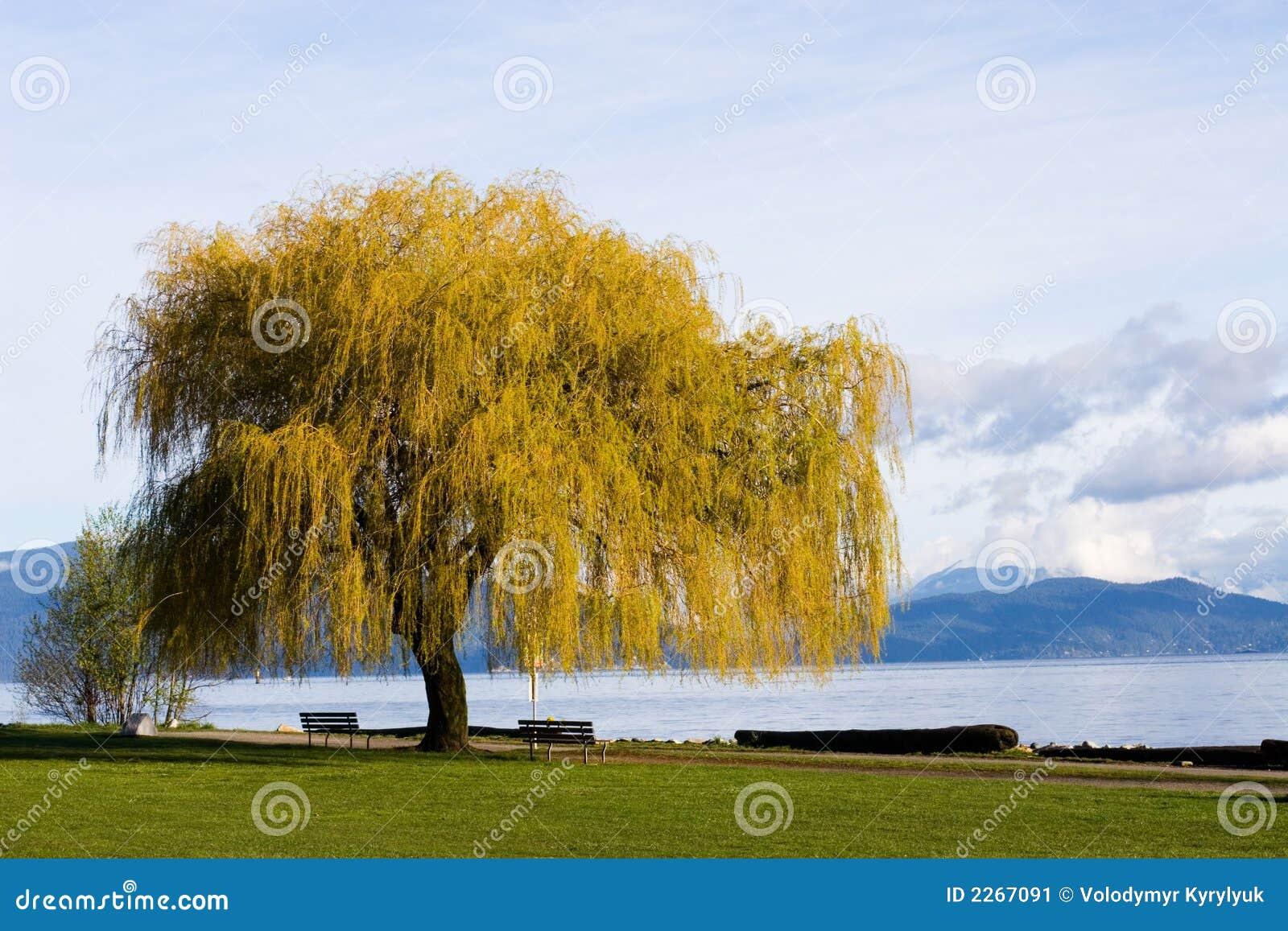 δέντρο παραλιών