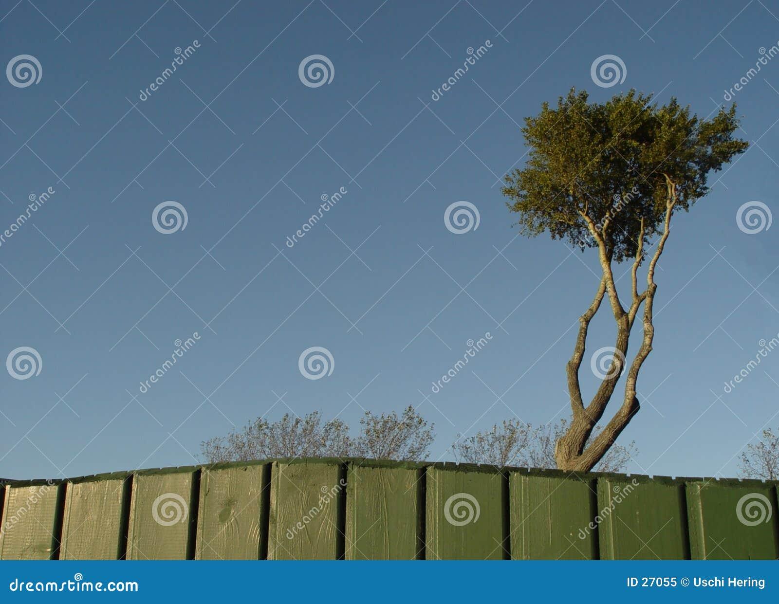 δέντρο πειρατών