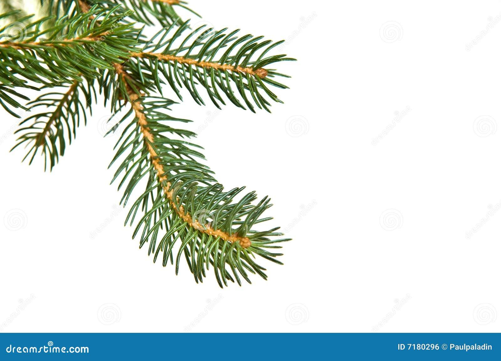 δέντρο πεύκων γουνών κλάδω
