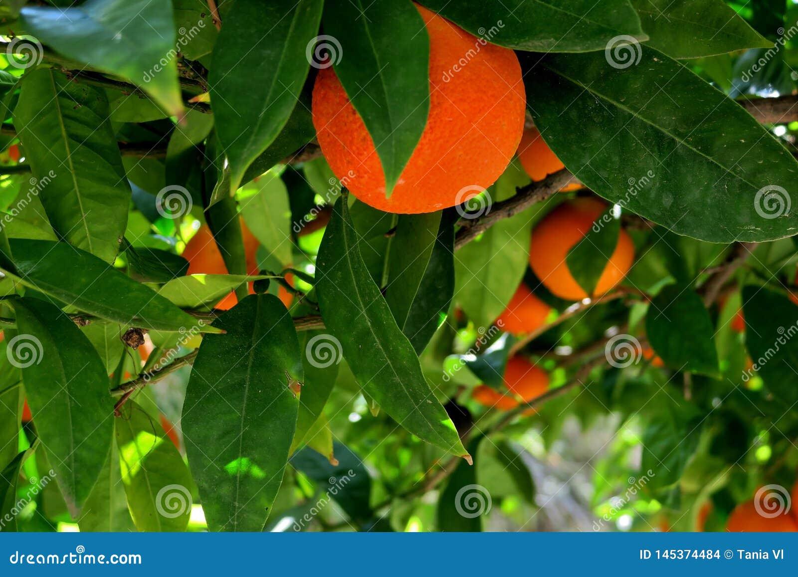 Δέντρο που καλύπτεται με τα ώριμα πορτοκάλια και τα άσπρα λουλούδια