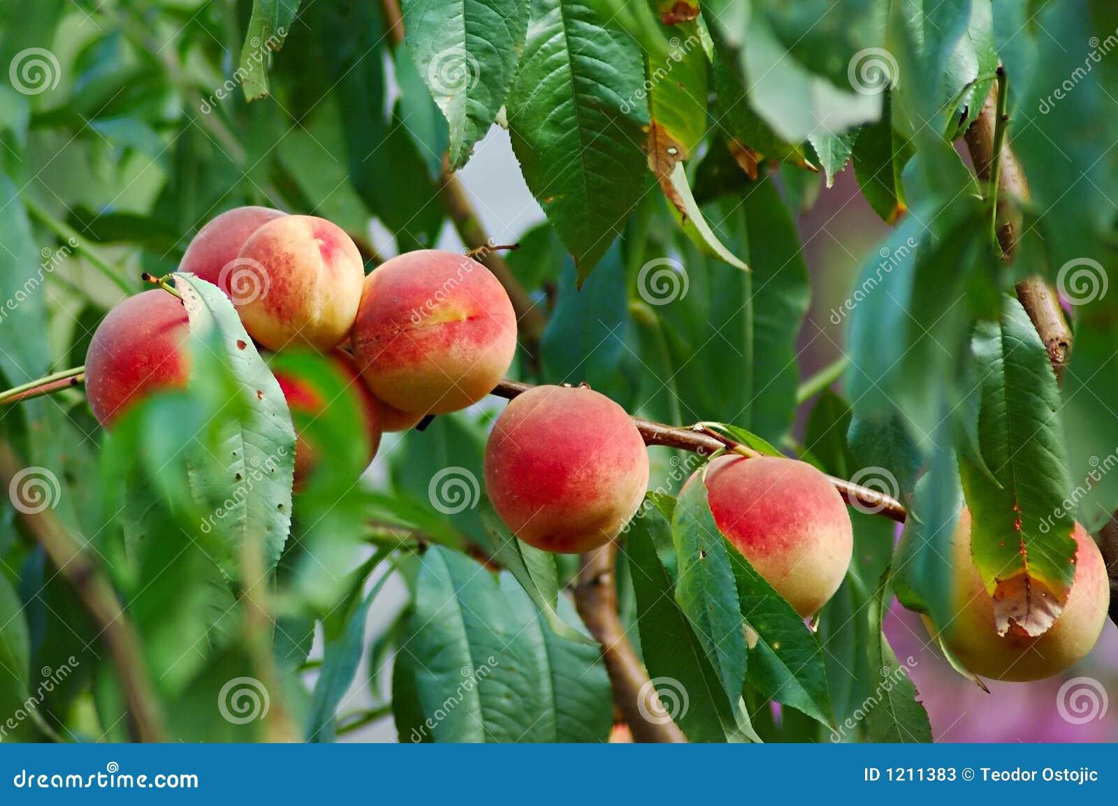 δέντρο ροδακινιών