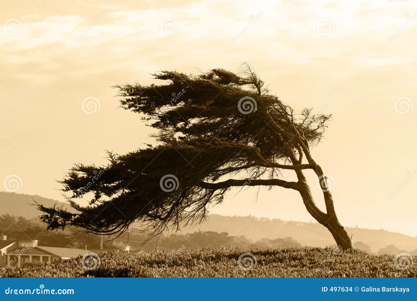 δέντρο σεπιών