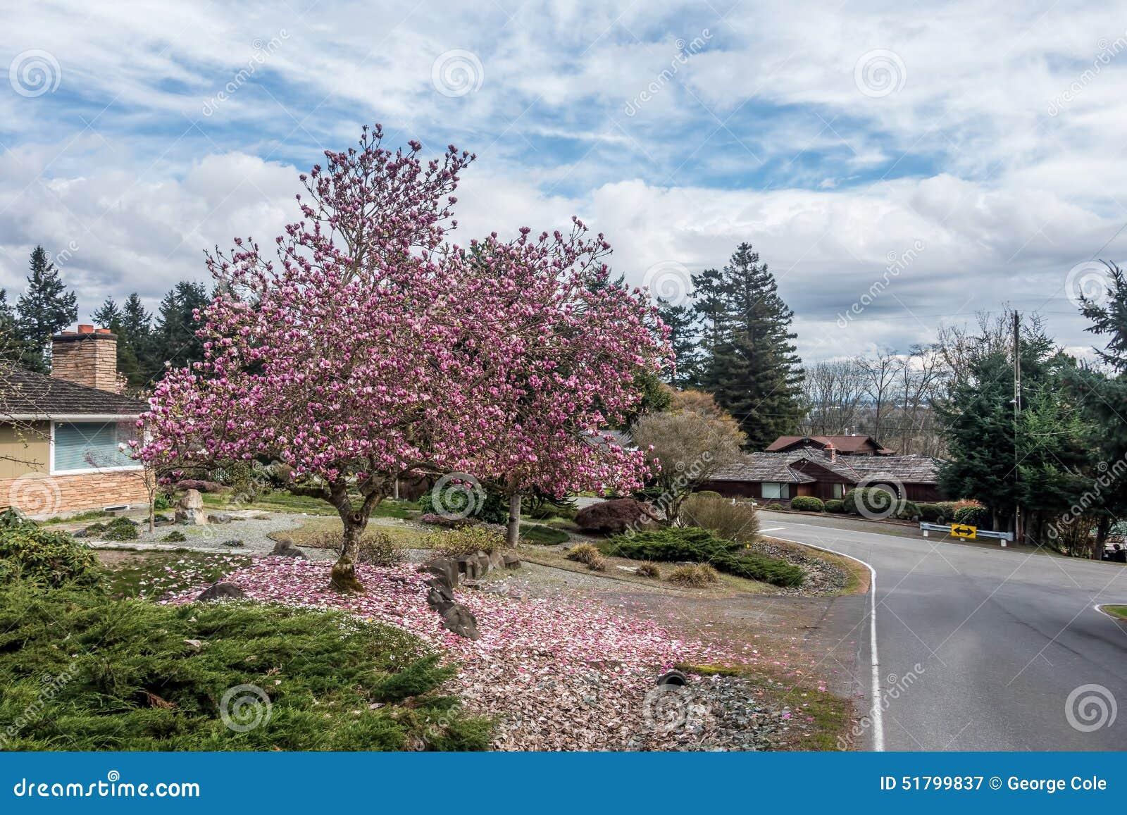 Δέντρο τουλιπών σε Burien, Ουάσιγκτον