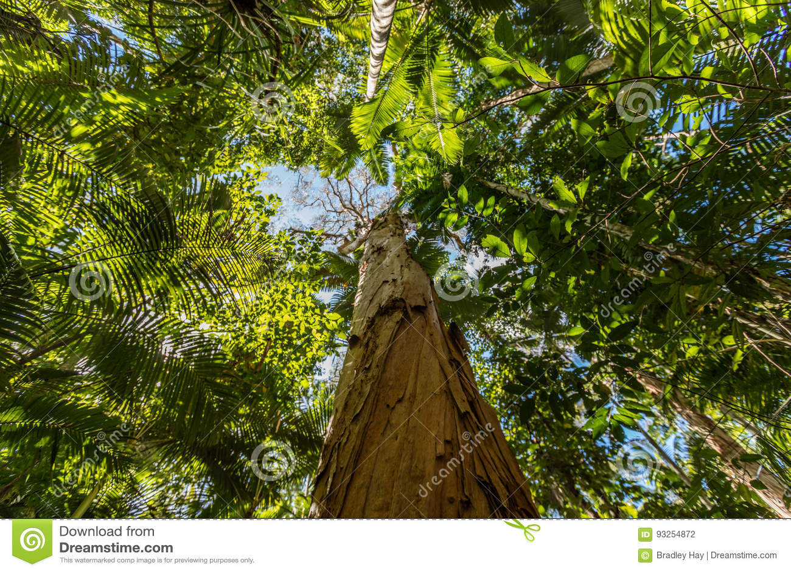 Δέντρο τσαγιού φλοιών εγγράφου, βοτανικοί κήποι τύμβων, περιοχή τύμβων, του Queensland, Αυστραλία