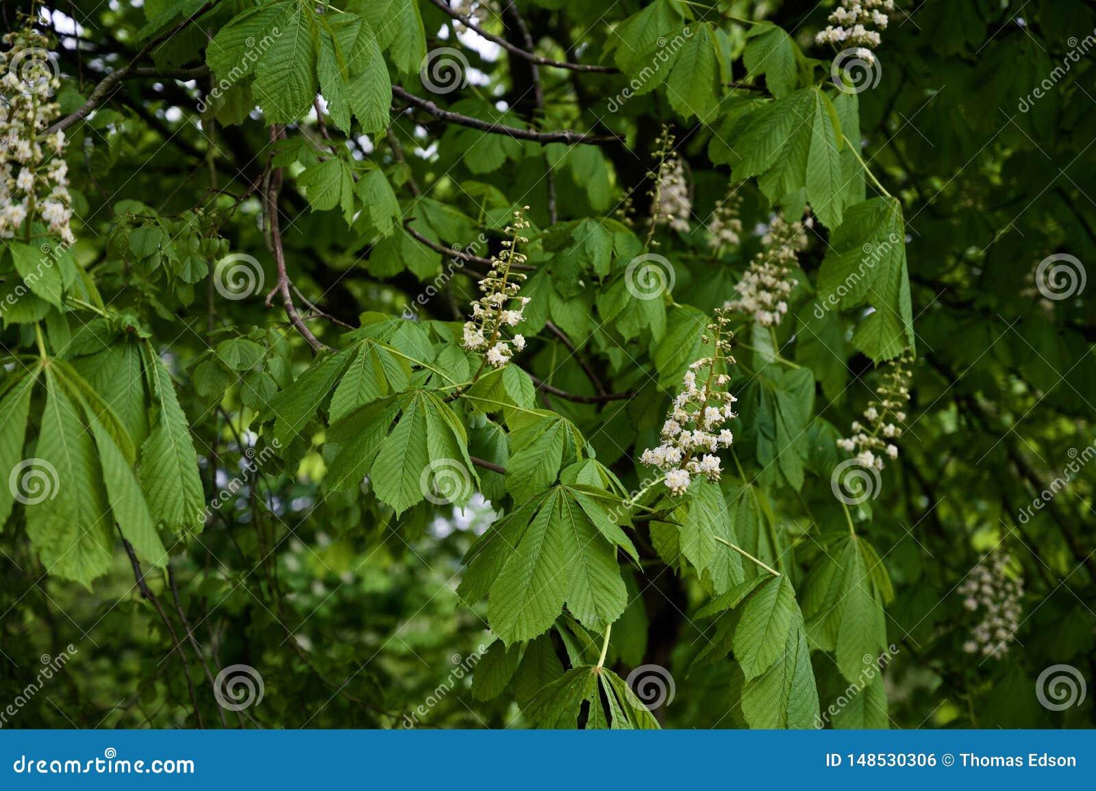 Δέντρο Conker κάστανων αλόγων στην άνθιση
