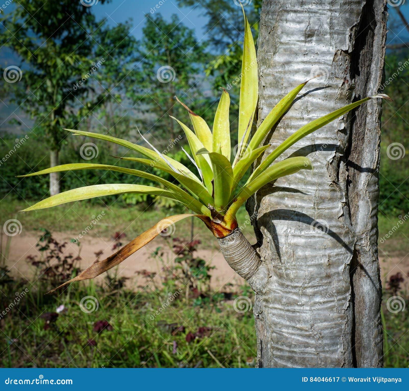 Δέντρο Dracaena