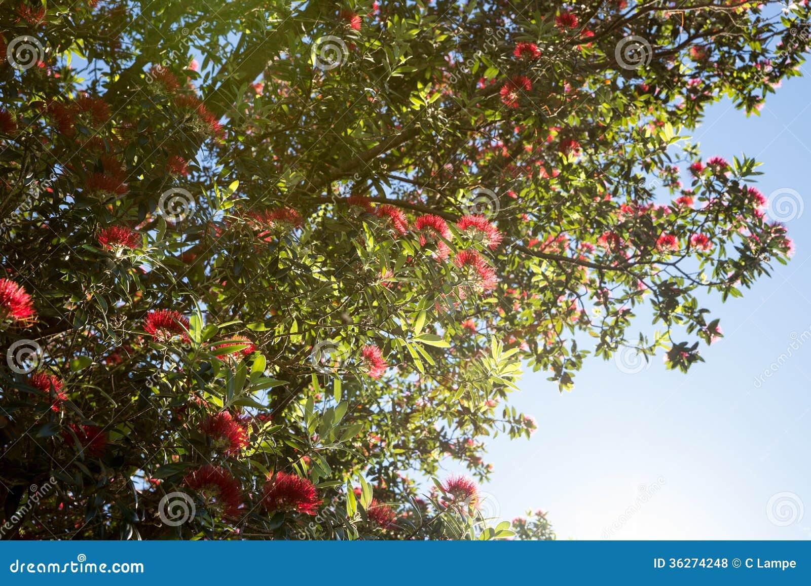 Δέντρο Pohutukawa