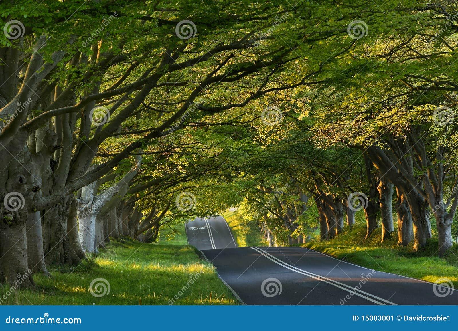 δέντρο UK lacey του Dorset Κίνγκστον &lambd
