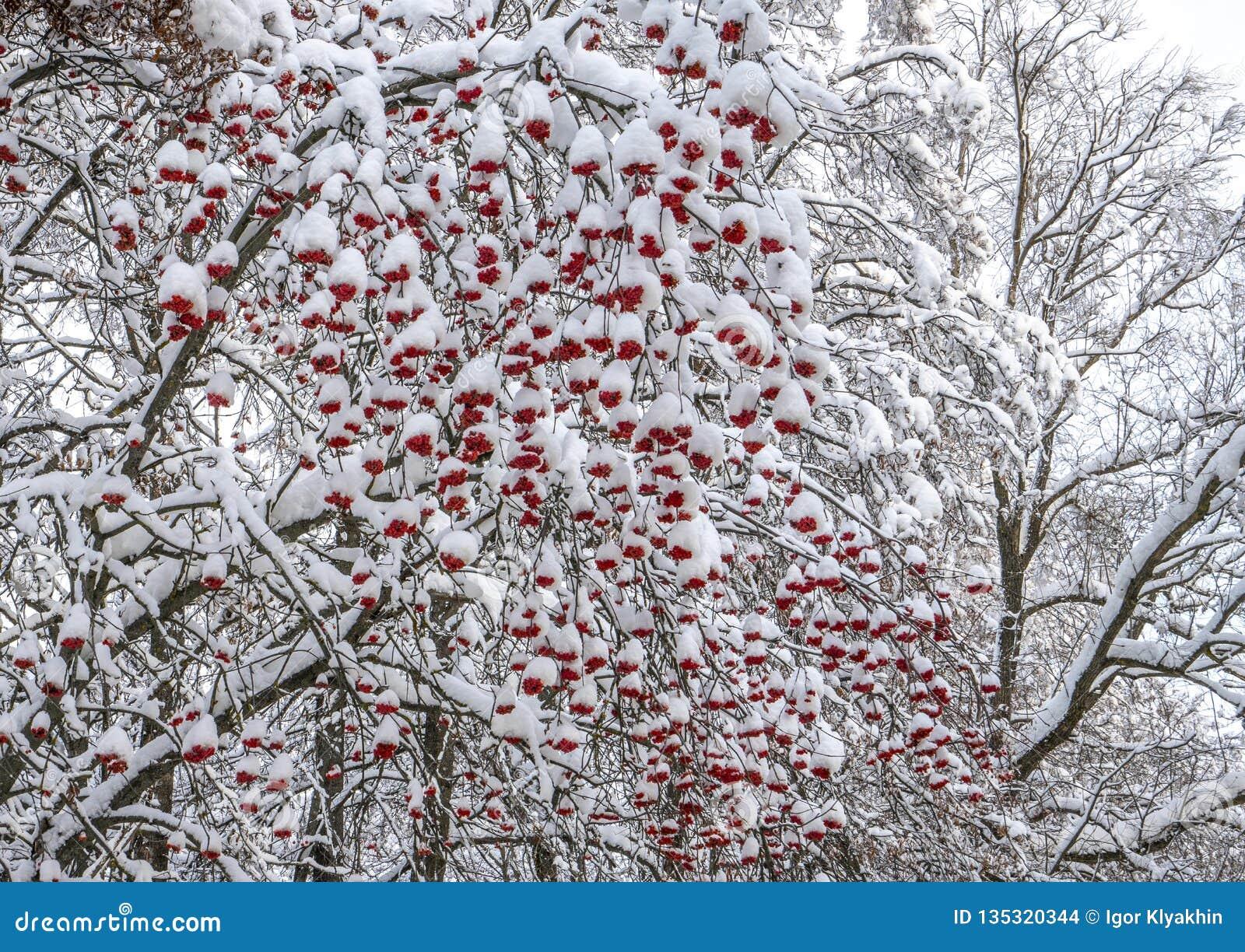 Δέσμες της κόκκινης τέφρας βουνών κάτω από το χιόνι