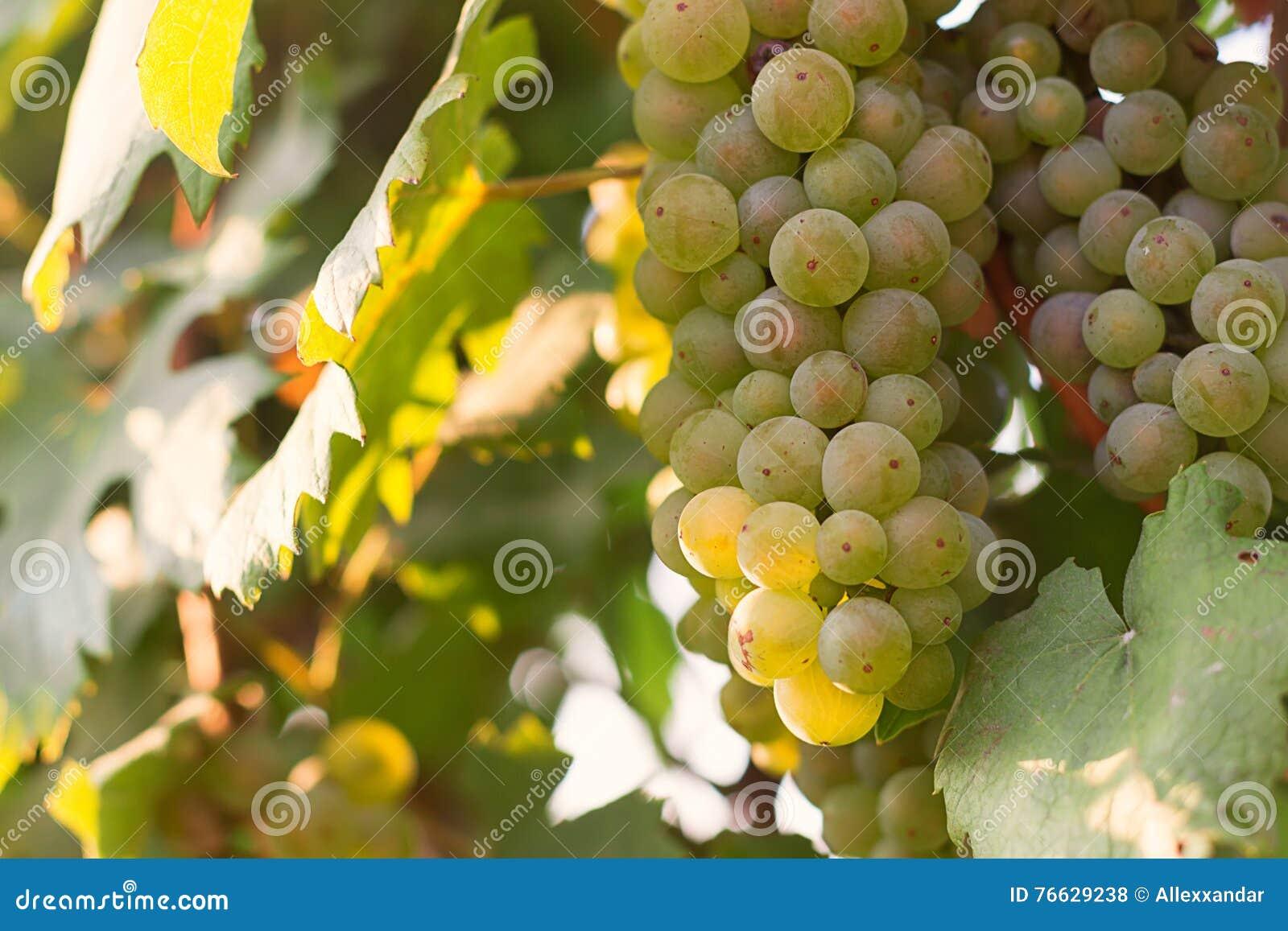 Δέσμες των πράσινων σταφυλιών κρασιού που αυξάνονται στον αμπελώνα Κλείστε επάνω την άποψη του φρέσκου πράσινου σταφυλιού κρασιού