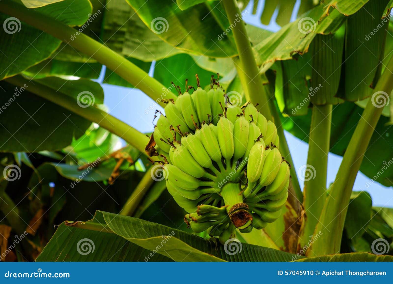Δέσμη της μπανάνας σε ένα δέντρο