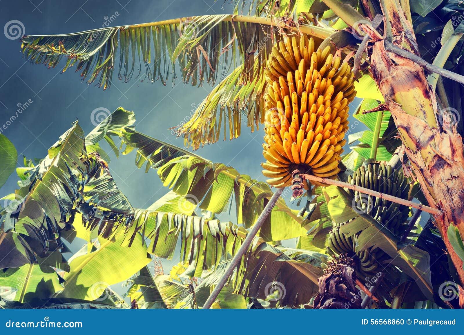 Download Δέσμη των ώριμων μπανανών στο δέντρο Στοκ Εικόνες - εικόνα από υπαίθριος, ανάπτυξη: 56568860