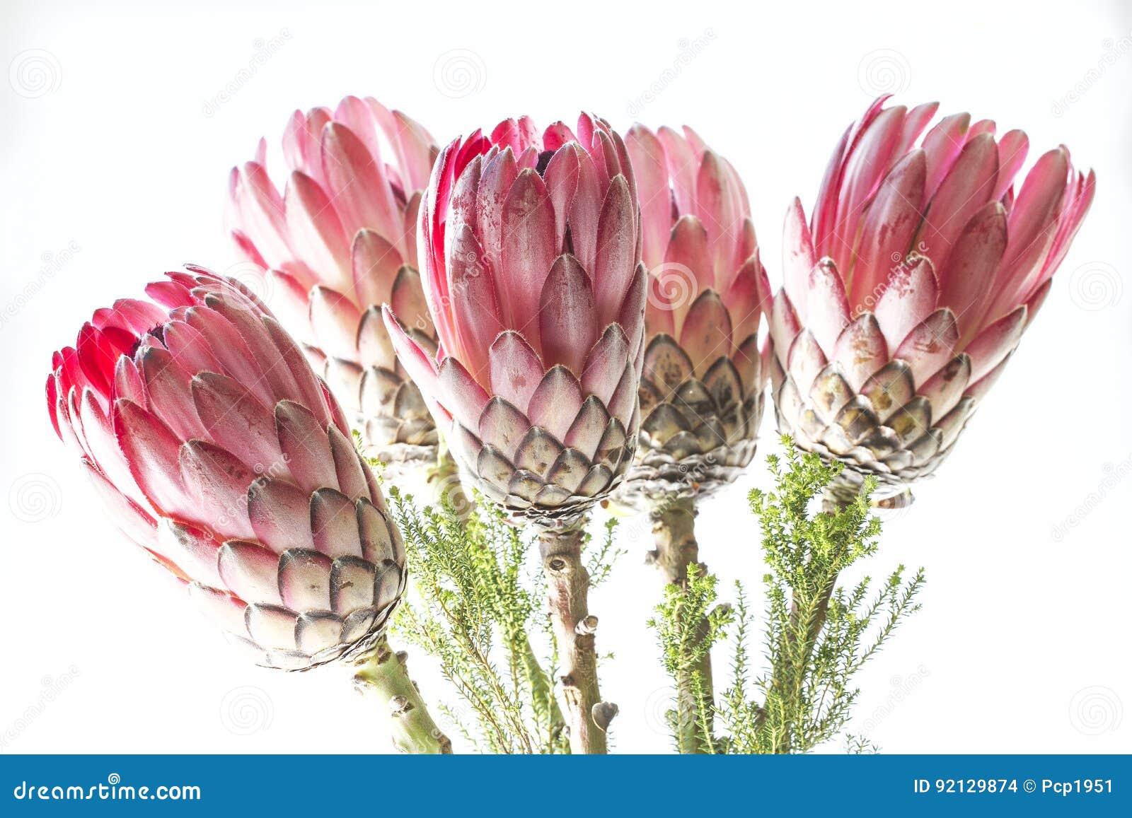 Δέσμη Protea