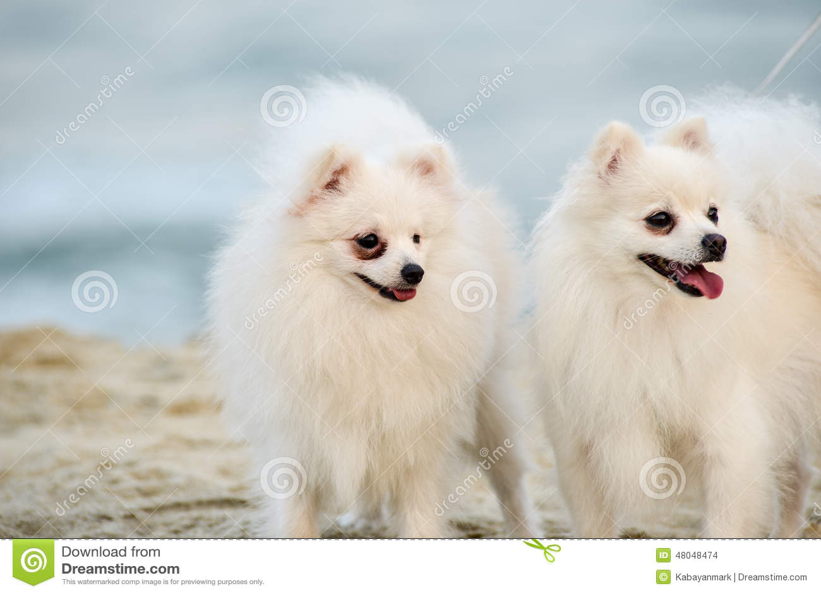 Δίδυμα σκυλιά, δύο σκυλιά στο λευκό παραλιών