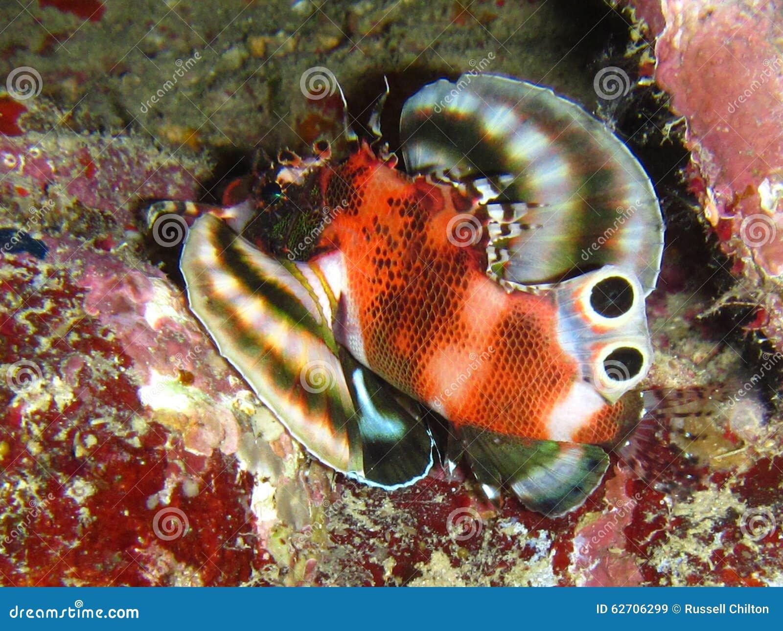 Δίδυμο σημείο Lionfish