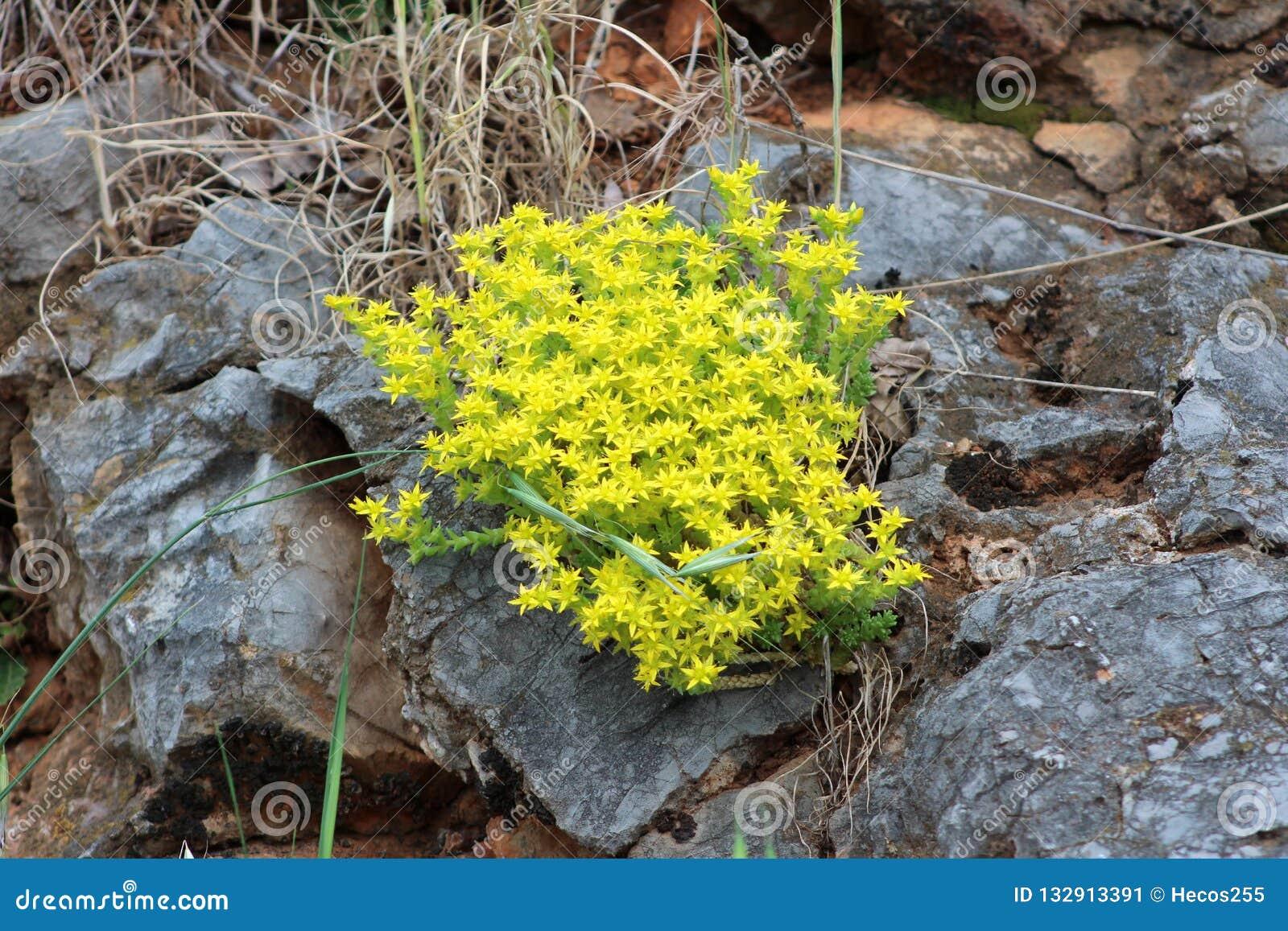 Δαγκώνοντας stonecrop ή αιώνιο ανθίζοντας φυτό στρέμματος Sedum με τα φωτεινά κίτρινα έναστρα λουλούδια που αυξάνονται μεταξύ των