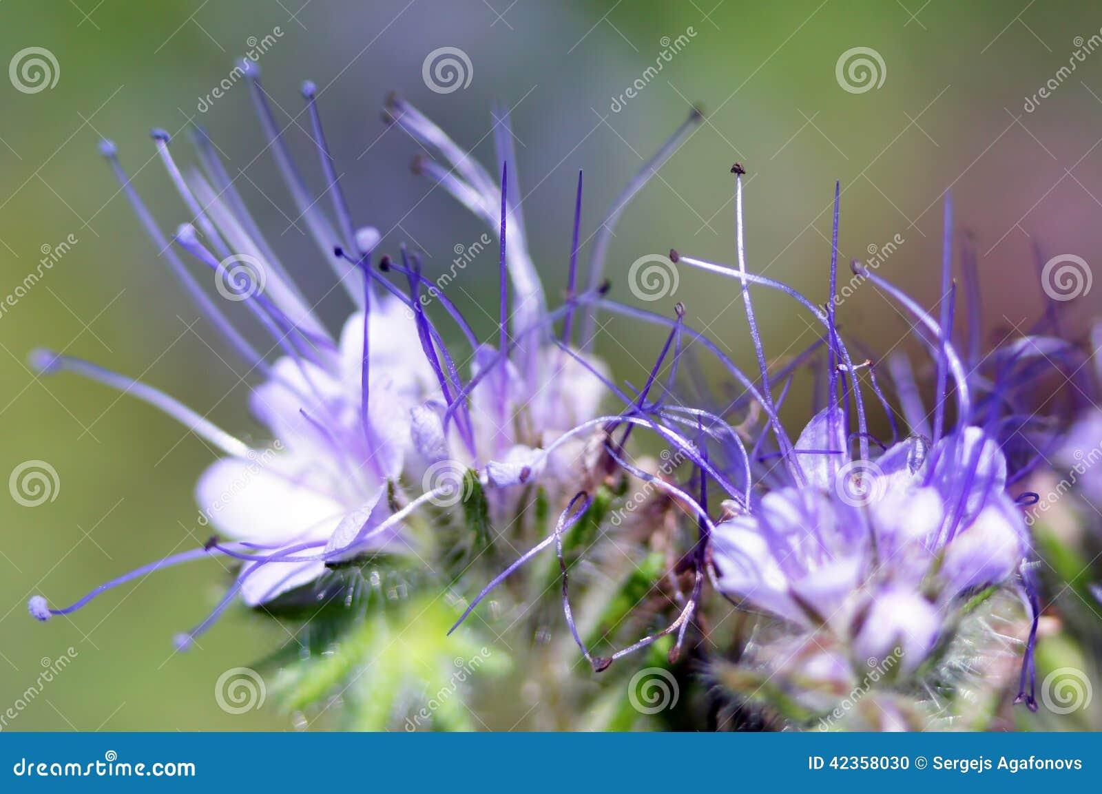 Δαντελλωτός phacelia ή πορφυρός tansy (tanacetifolia phacelia) επικεφαλής στενός επάνω λουλουδιών