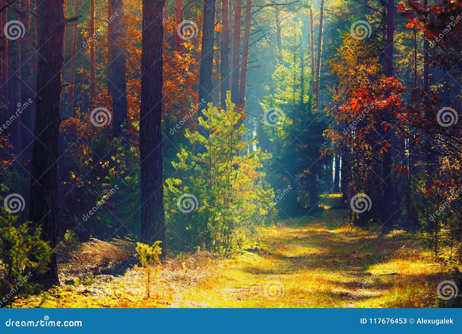 Δασική ηλιόλουστη φύση φθινοπώρου φθινοπώρου Πορεία στο ζωηρόχρωμο δάσος με