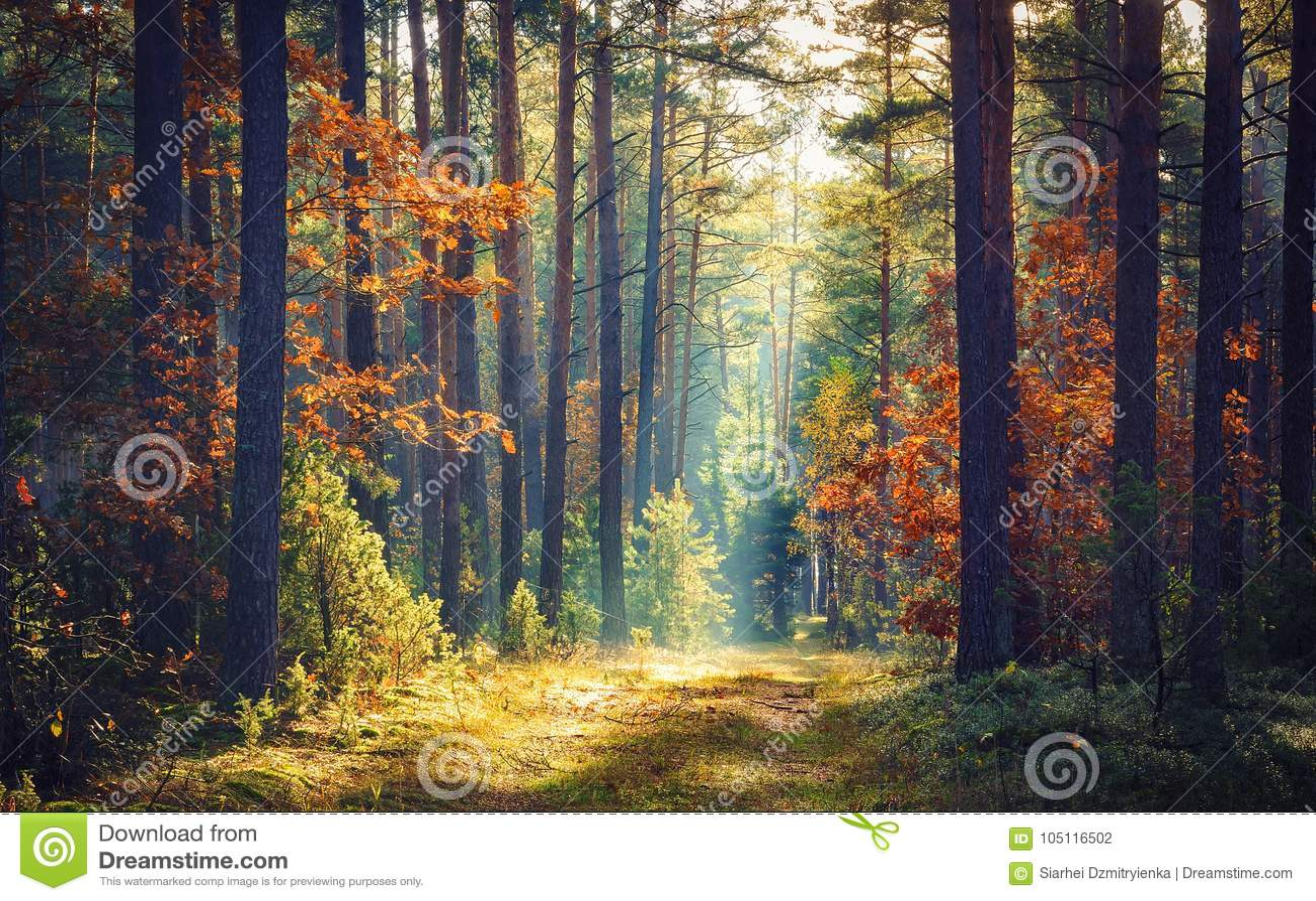 Δασική φύση φθινοπώρου Ζωηρό πρωί στο ζωηρόχρωμο δάσος με τις ακτίνες ήλιων μέσω των κλάδων των δέντρων Τοπίο της φύσης με το φως