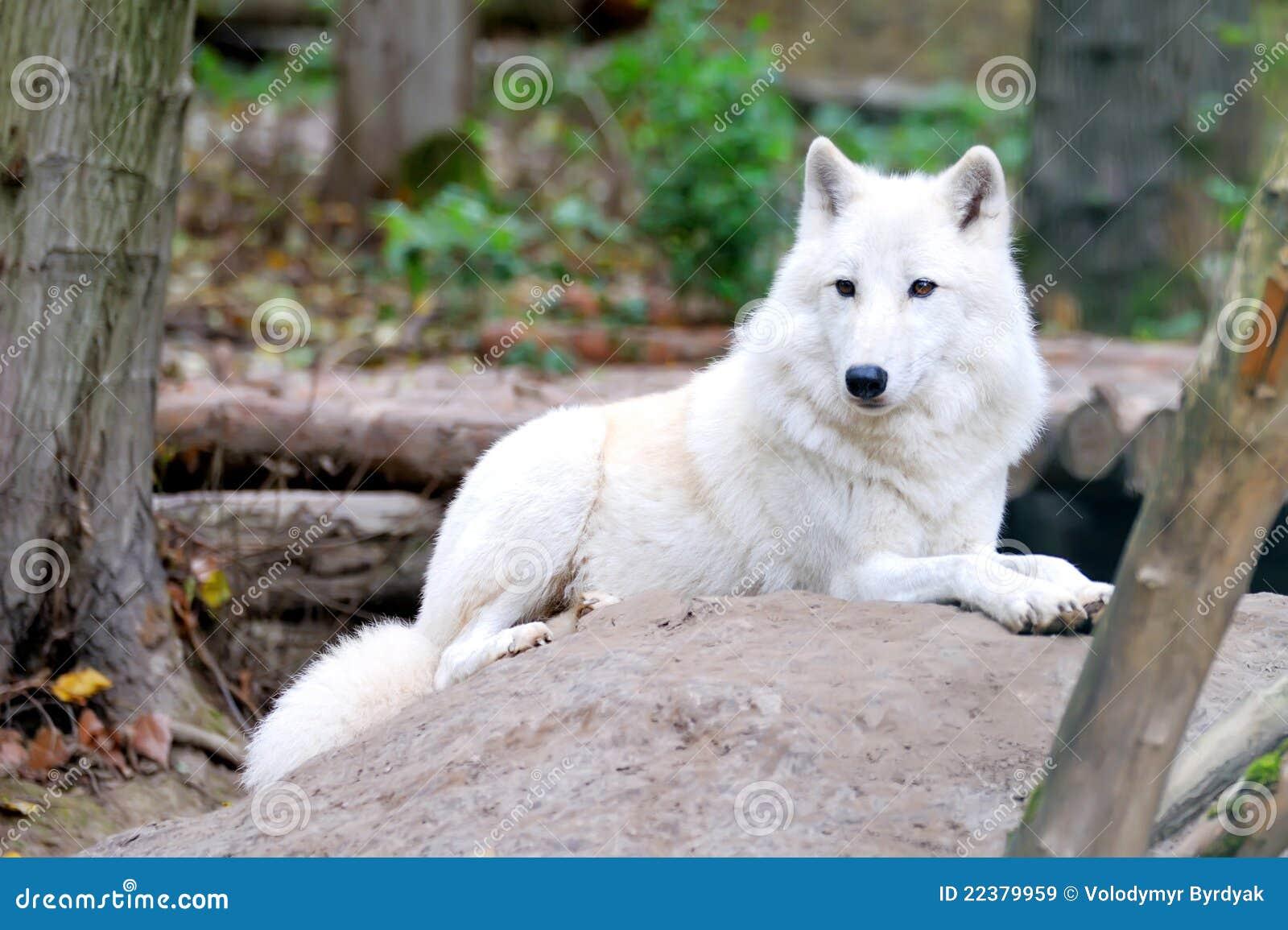 δασικός άσπρος λύκος