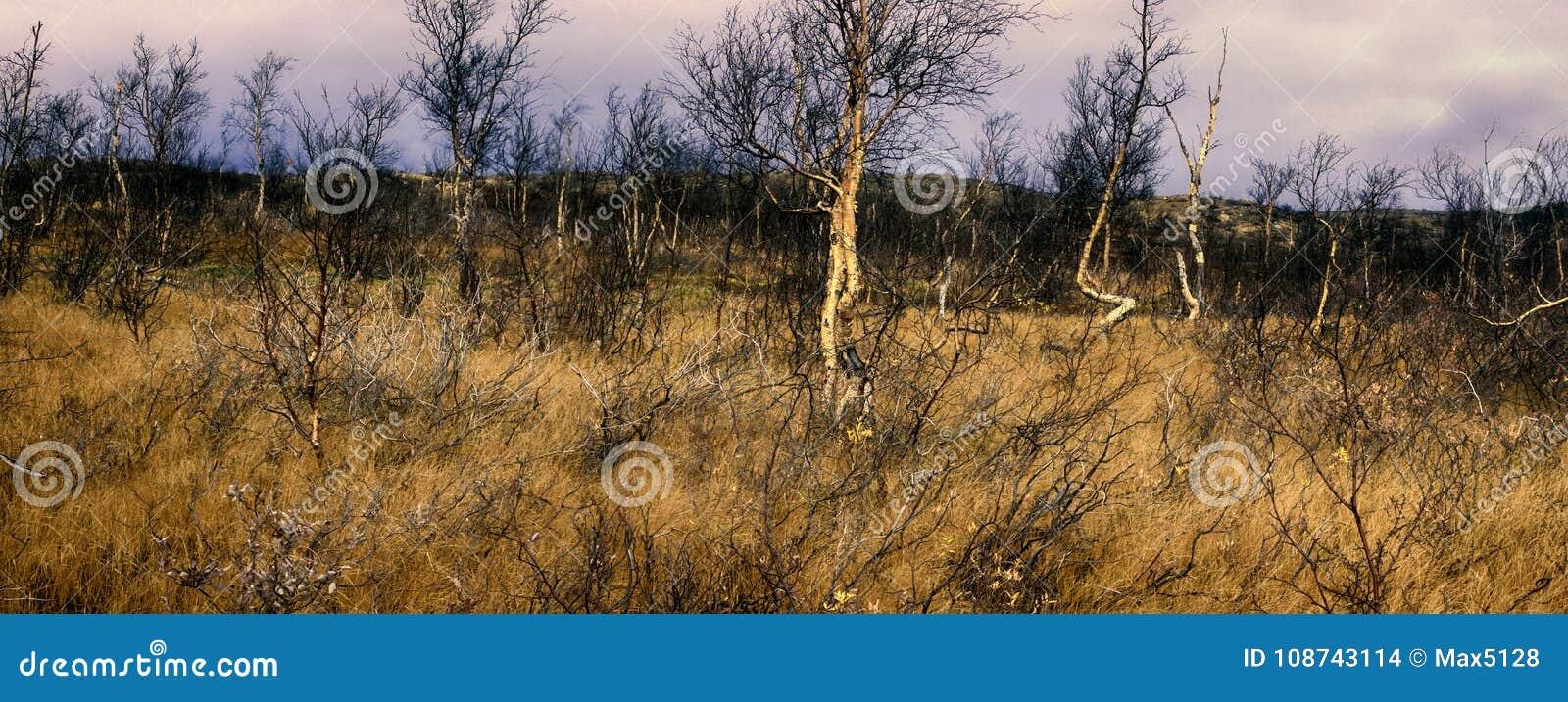 Δασικός-tundra στα μέσα του φθινοπώρου - στριμμένη σημύδα