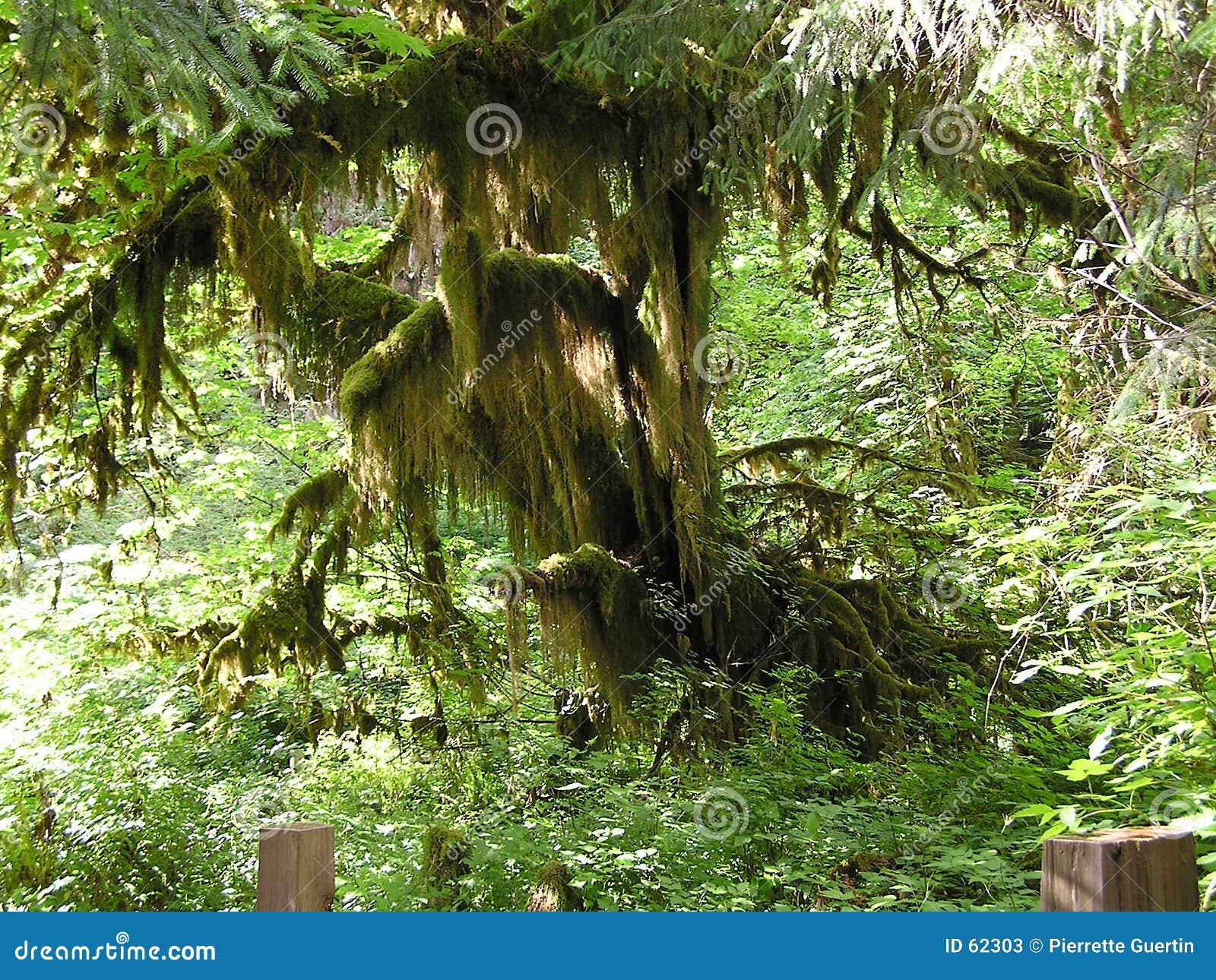 δασικό δέντρο βροχής