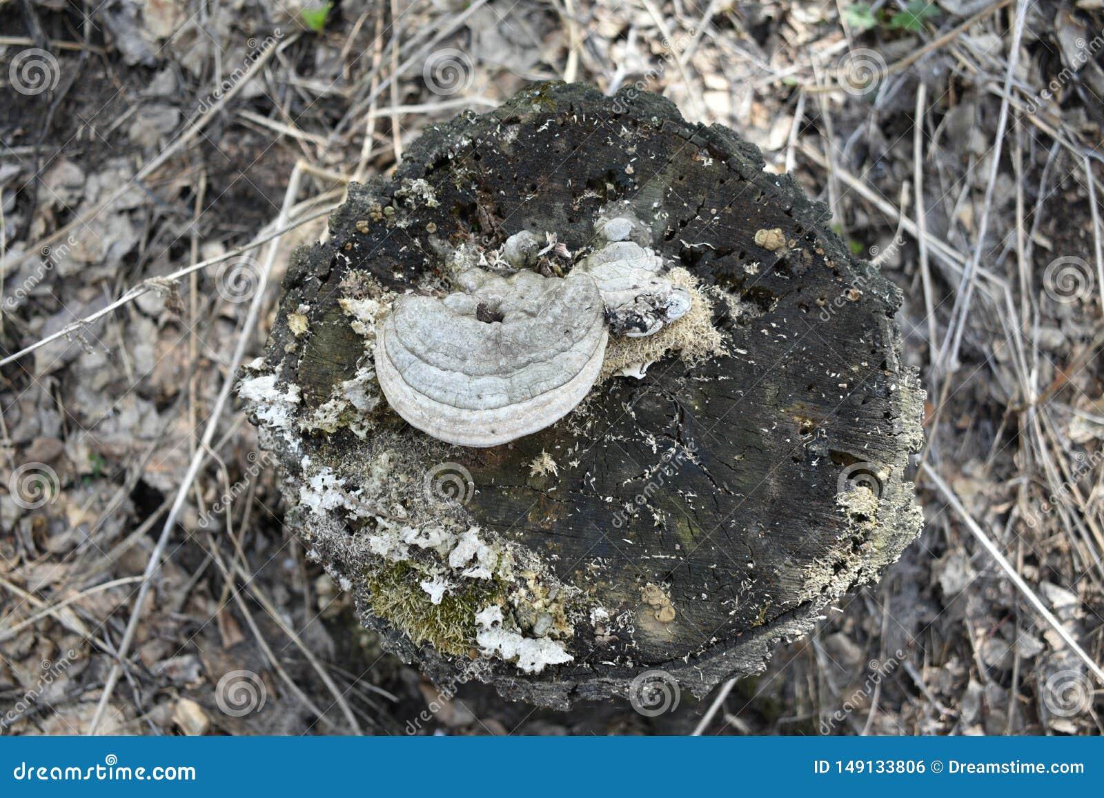 Δασικό κολόβωμα με το μανιτάρι στη τοπ και ξηρά χλόη γύρω