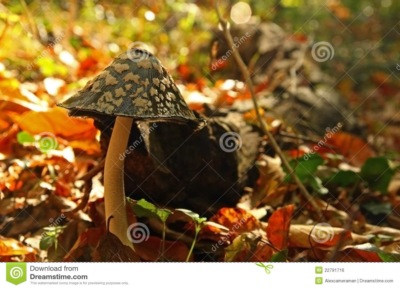 δασικό μανιτάρι φθινοπώρο&upsi