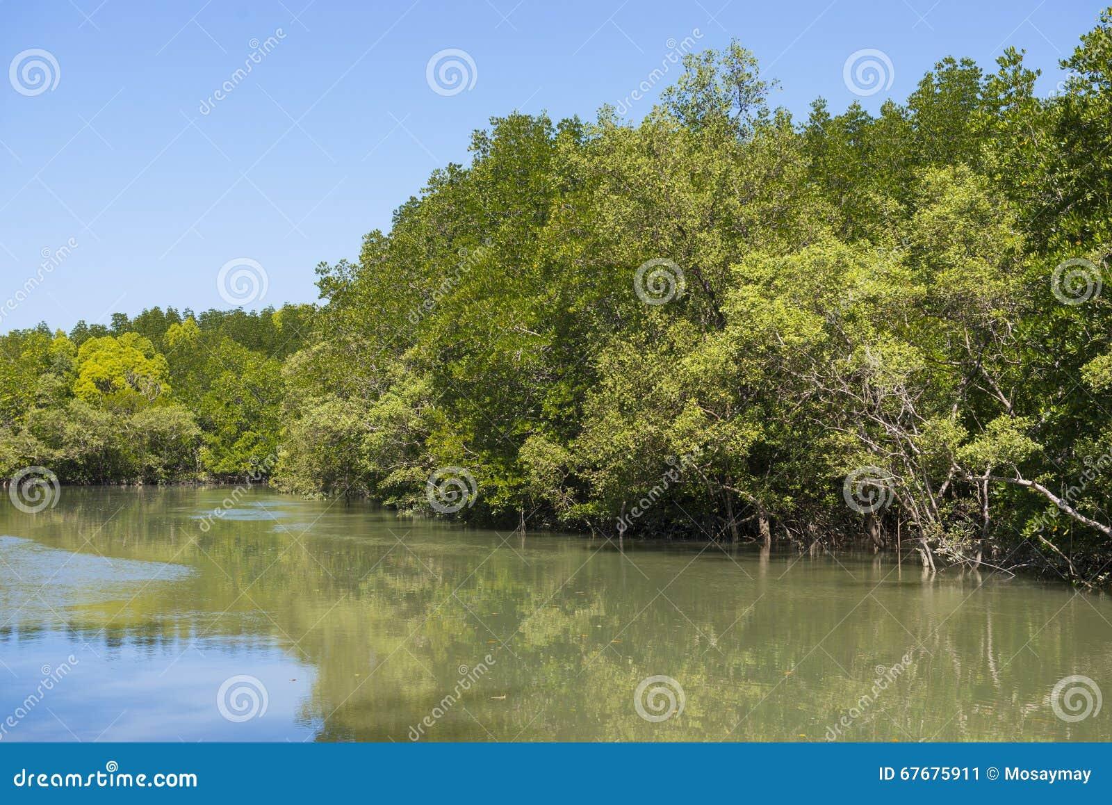 Δασικό τροπικό τροπικό δάσος μαγγροβίων