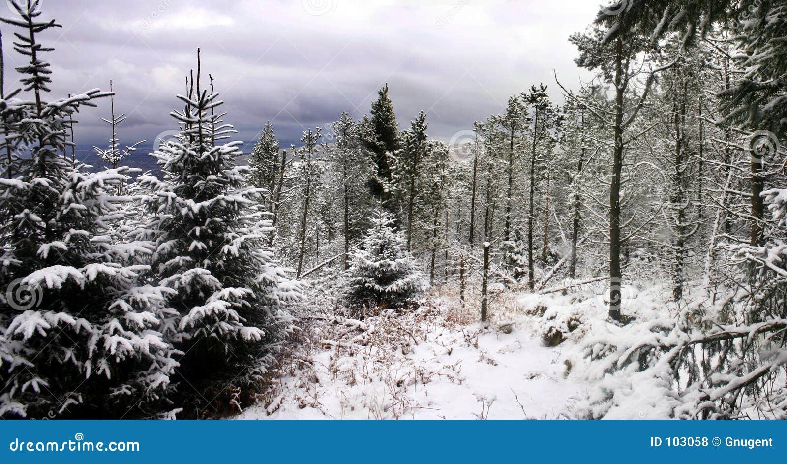 δασικό χιόνι σκηνής πεύκων