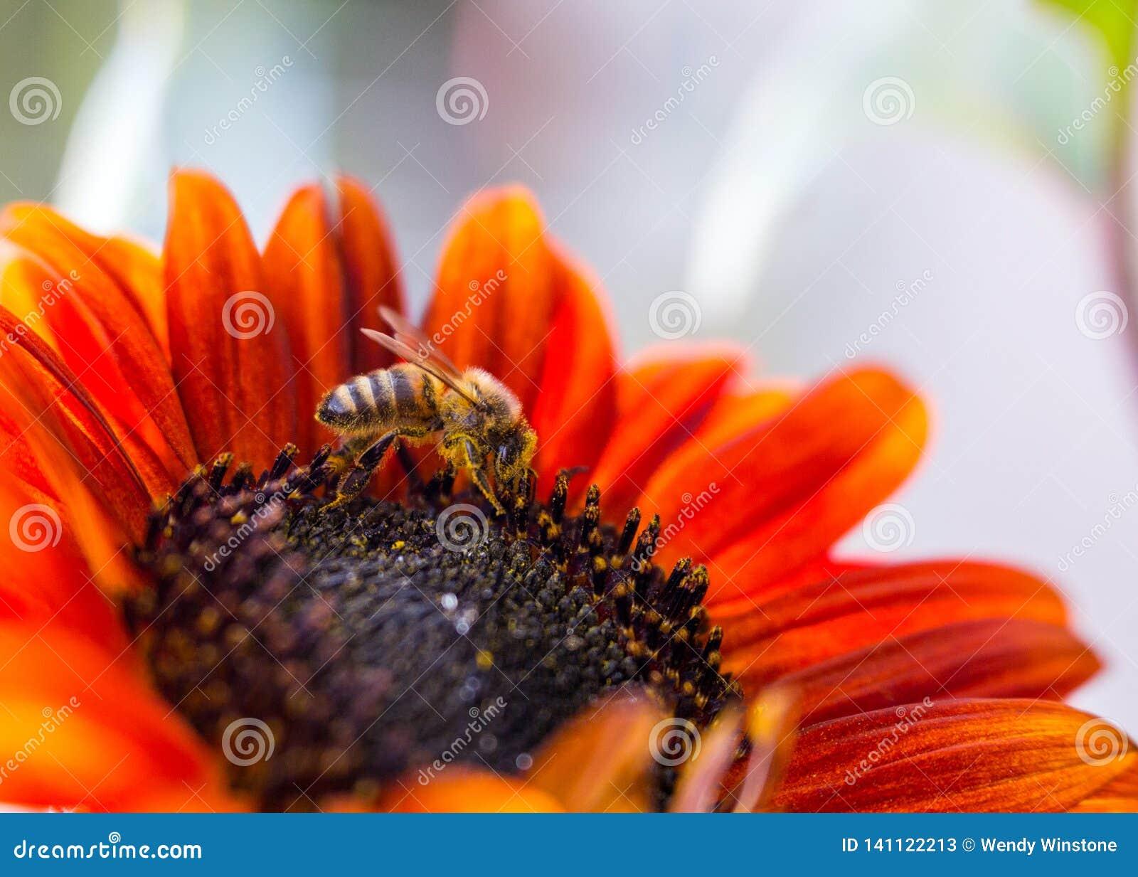 Δευτερεύον σχεδιάγραμμα της μέλισσας στον ηλίανθο prado