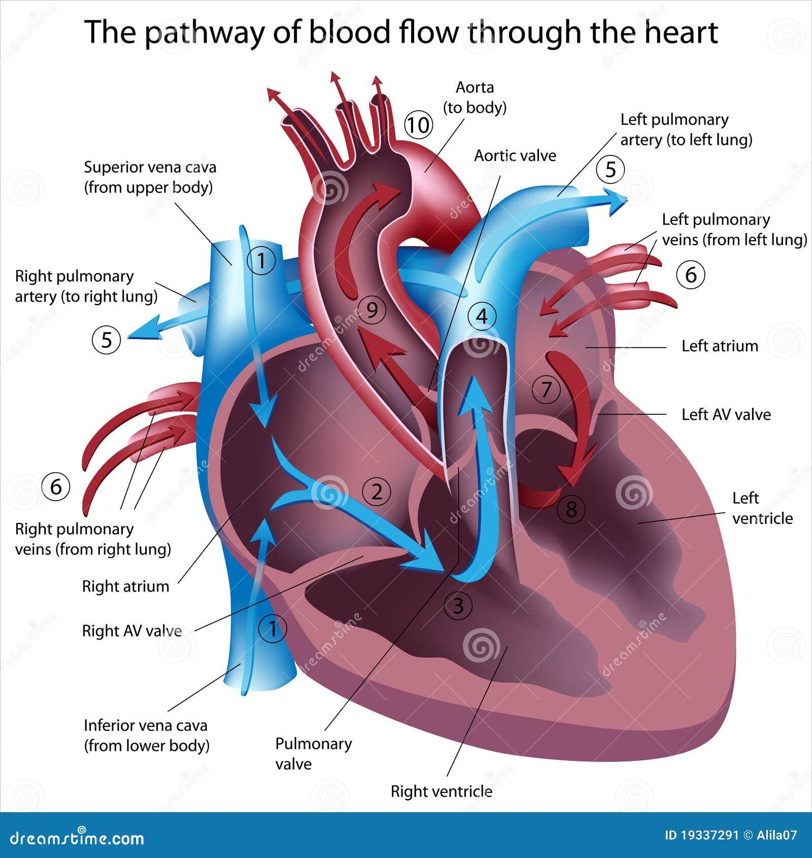 διάβαση καρδιών ροής αίματ&omi