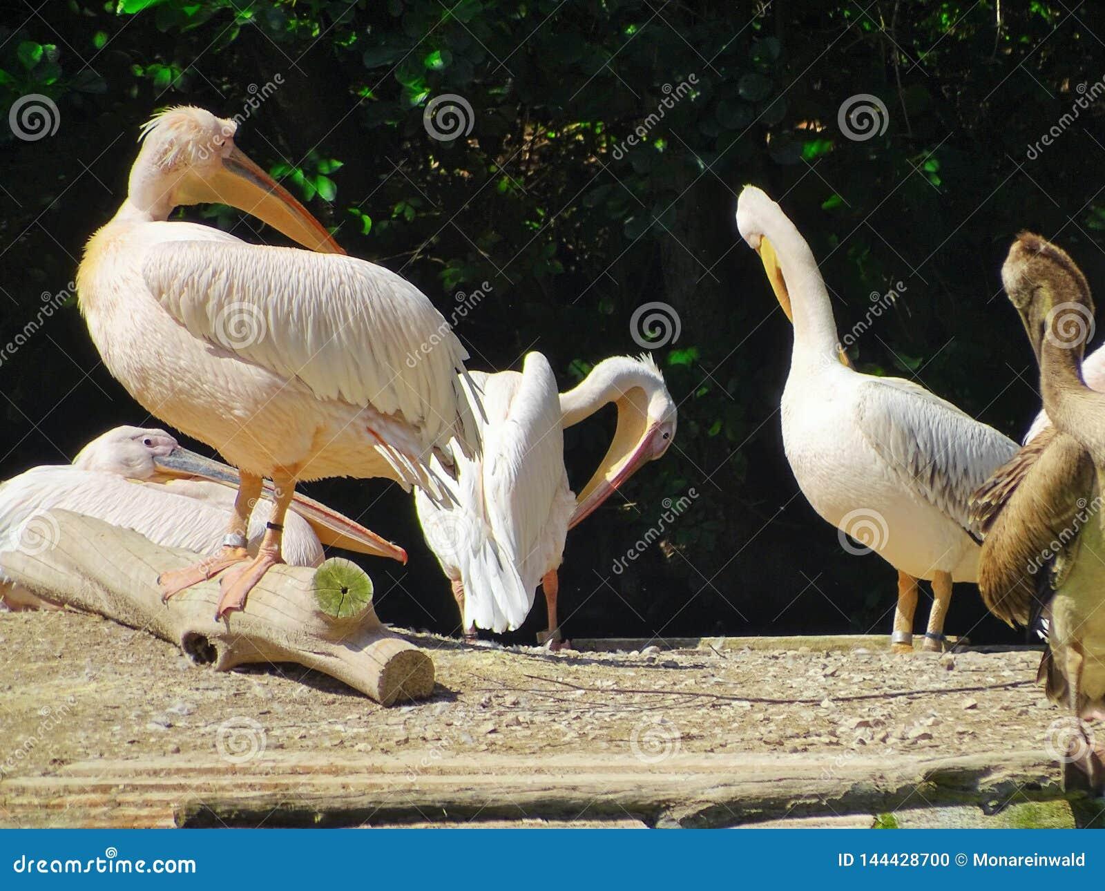Διάταξη θέσεων πελεκάνων στο ζωολογικό κήπο της Νυρεμβέργης στη Γερμανία